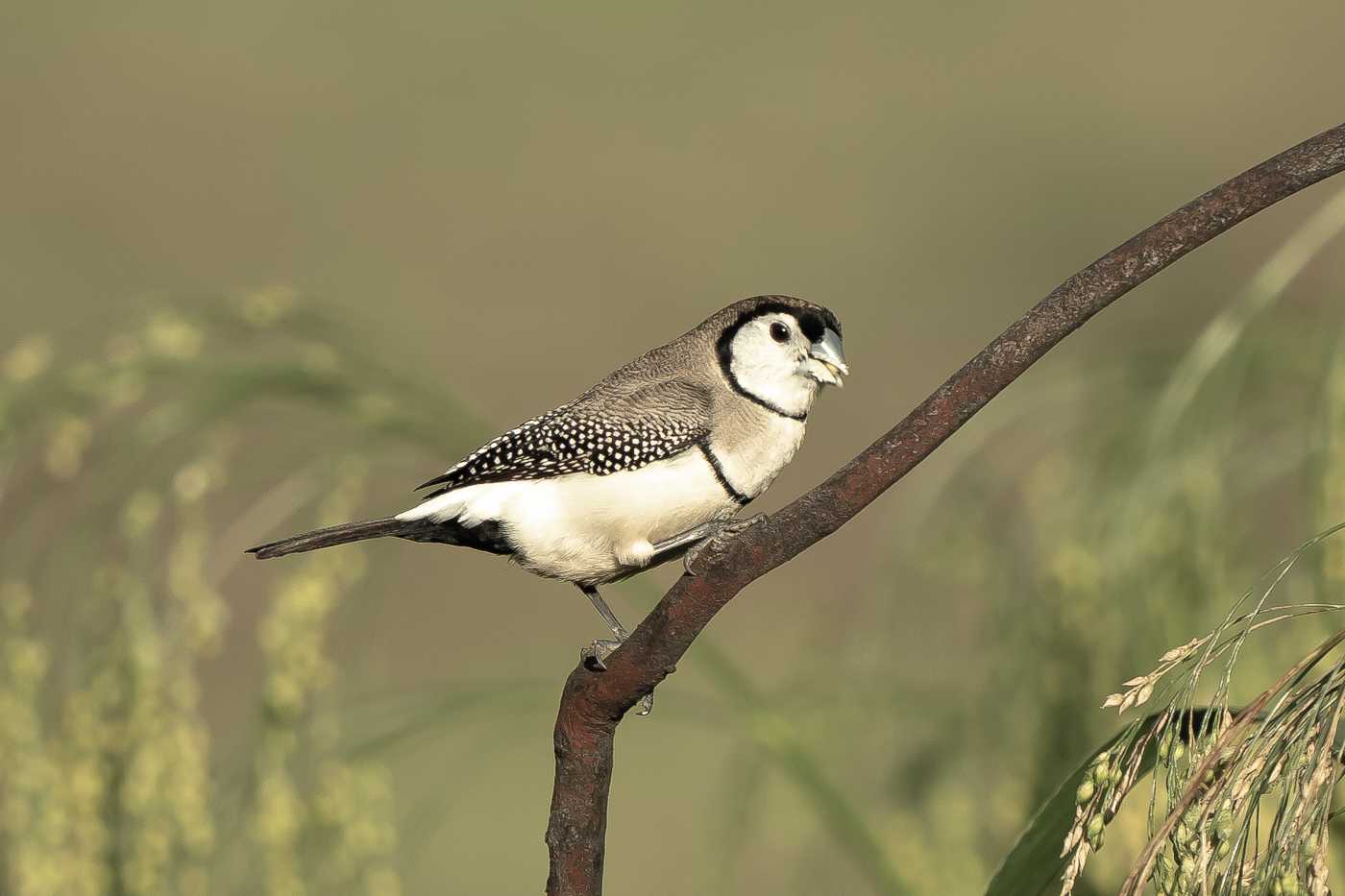 Double-barred Finch (Image ID 40325)