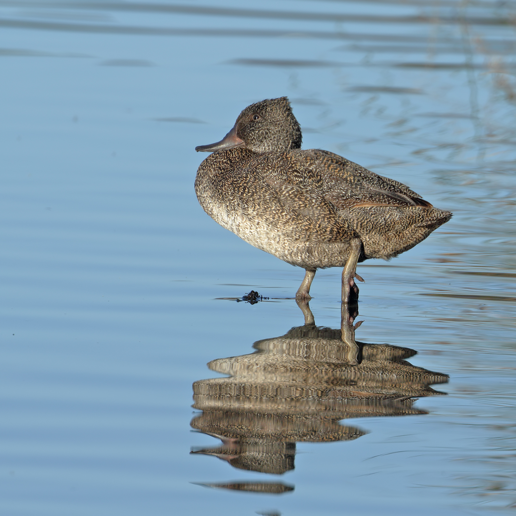 Freckled Duck (Image ID 40607)
