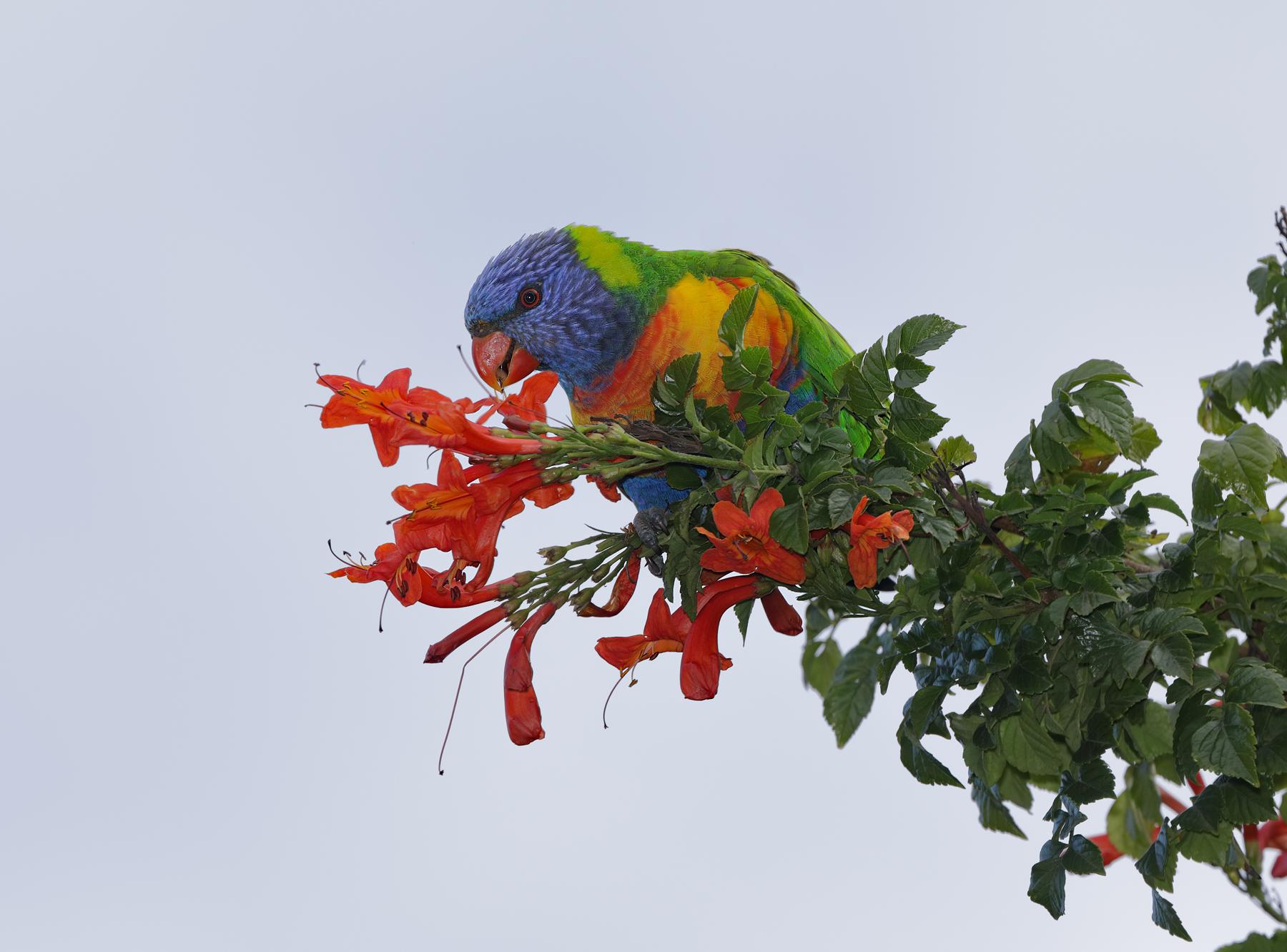 Rainbow Lorikeet (Image ID 40465)