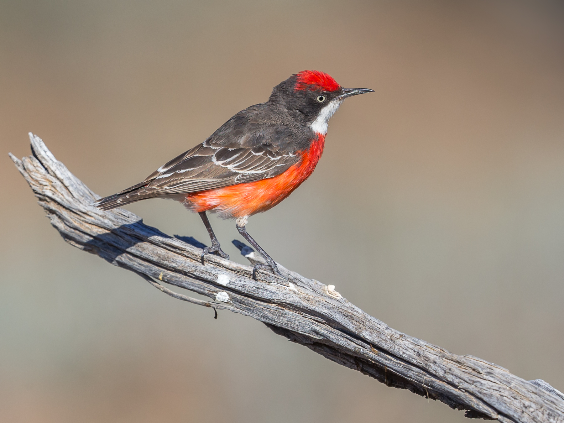 Crimson Chat (Image ID 40480)