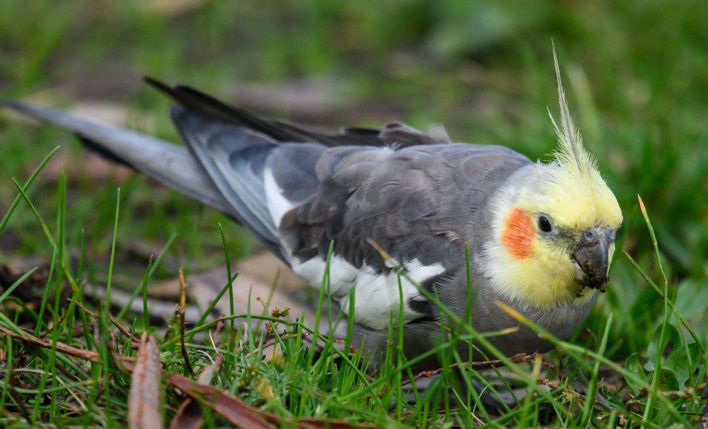 Cockatiel (Image ID 40620)