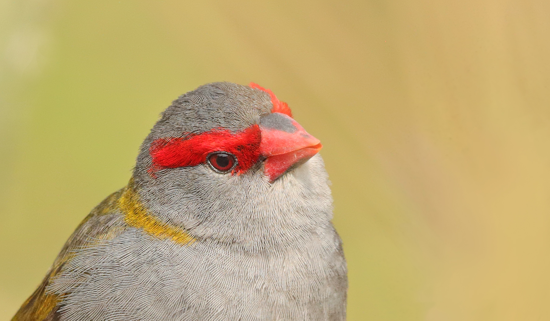 Red-browed Finch (Image ID 40424)