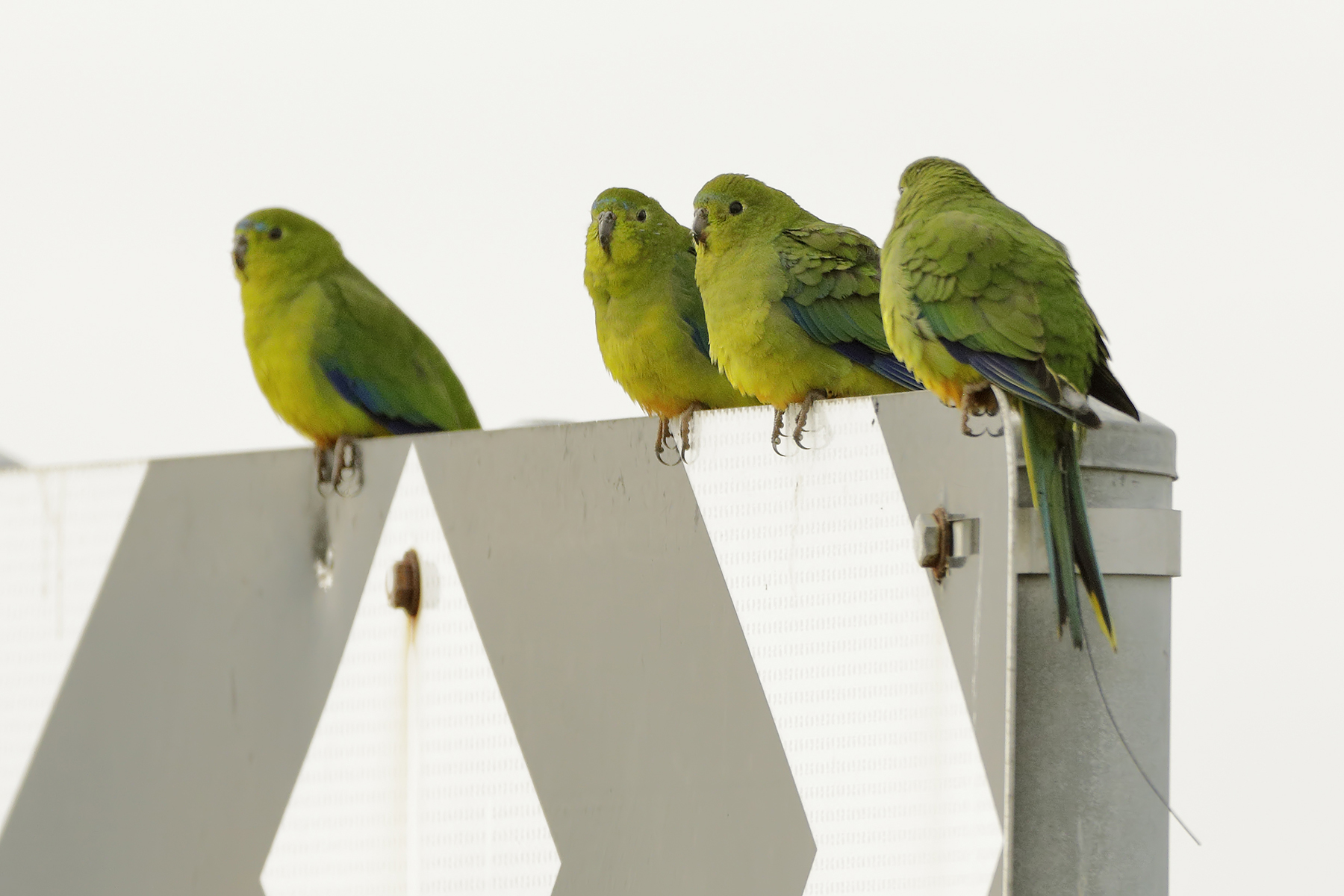 Orange-bellied Parrot (Image ID 40382)