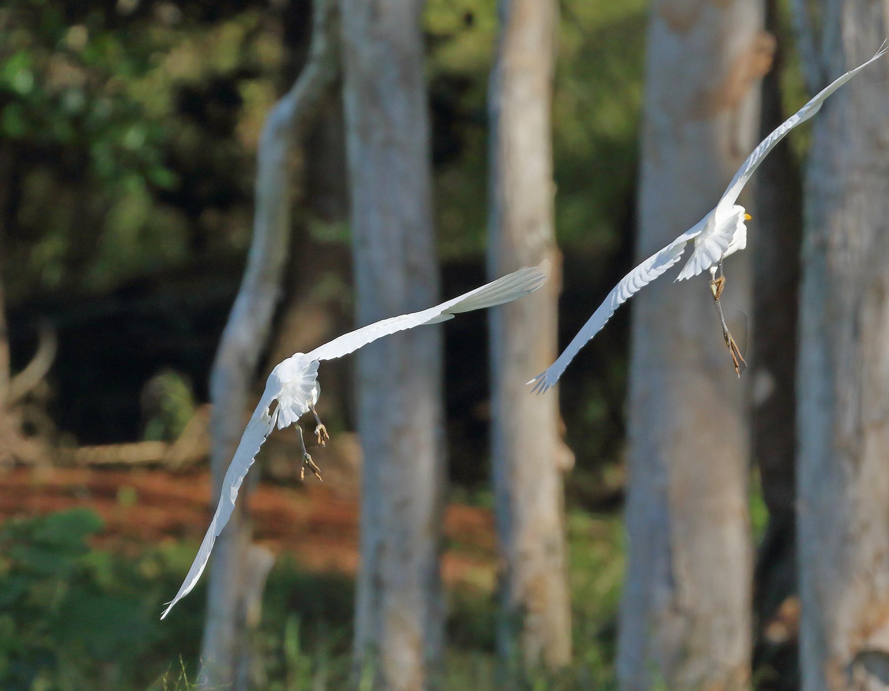Cattle Egret (Image ID 40681)