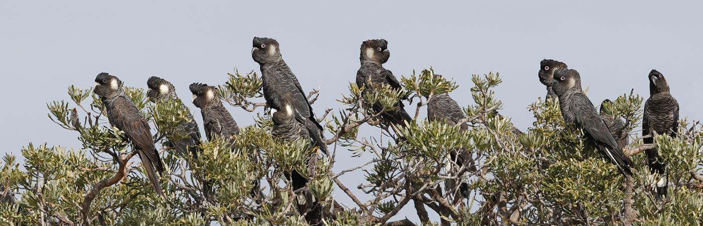 Carnaby's Black-Cockatoo (Image ID 40421)