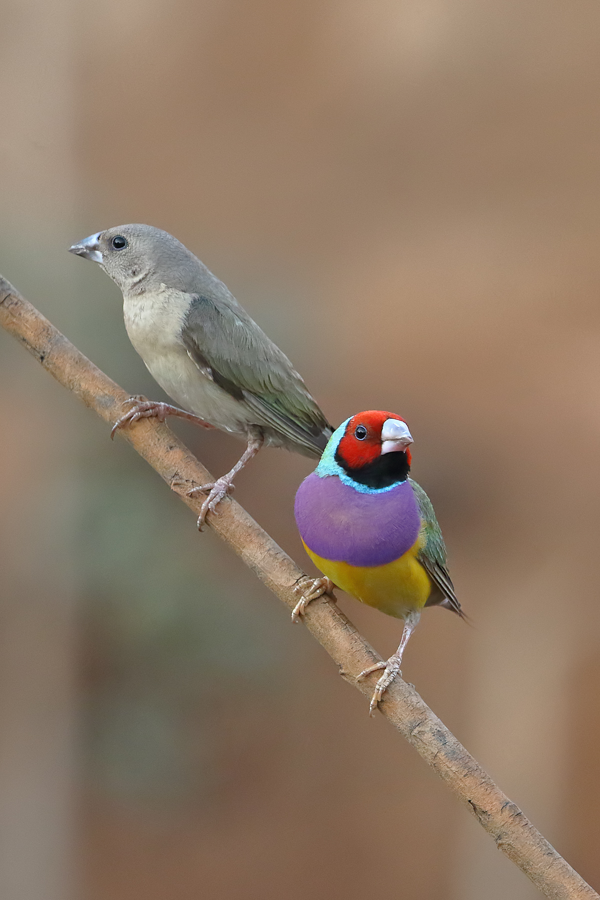 Gouldian Finch (Image ID 40450)