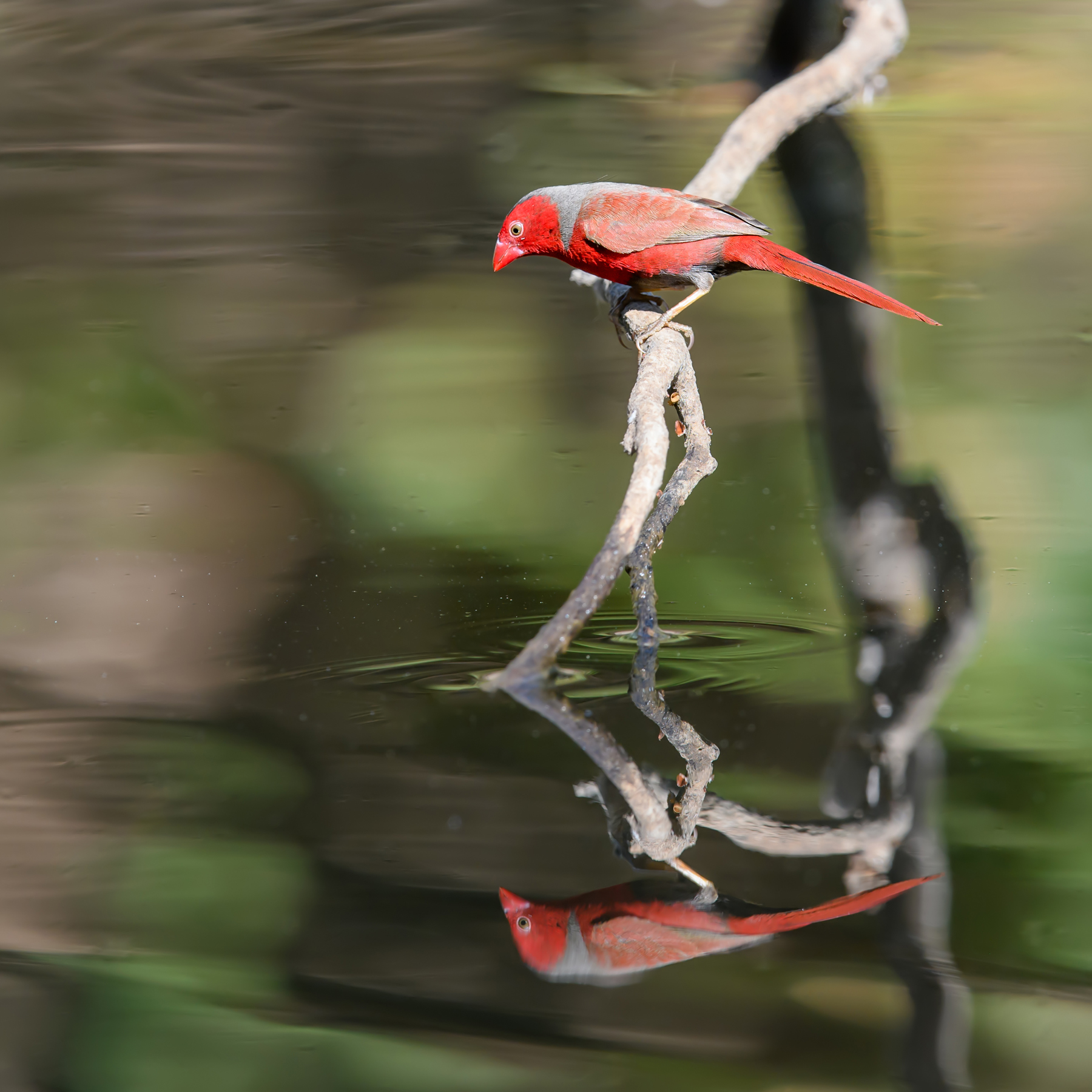 Black-bellied Crimson Finch (Image ID 40429)