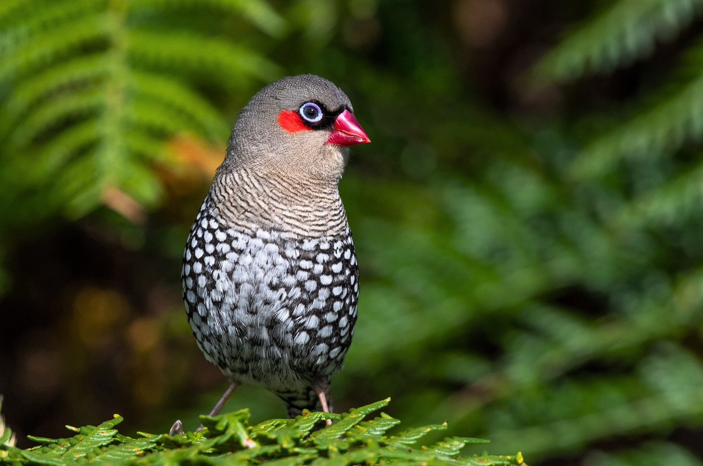 Red-eared Firetail (Image ID 40430)
