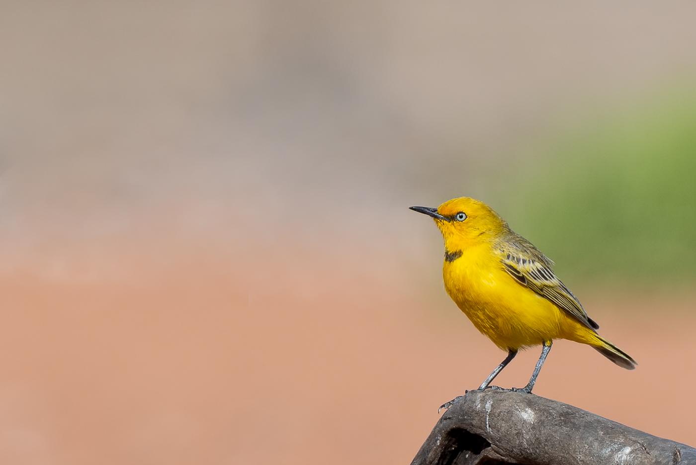Yellow Chat (Image ID 40402)