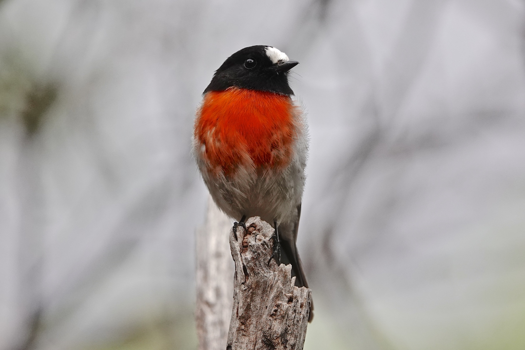 Scarlet Robin (Image ID 40535)