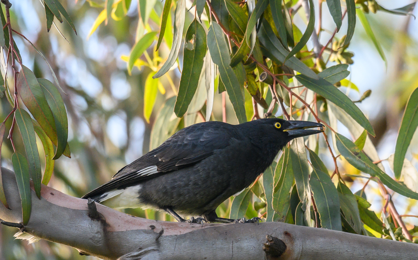 Pied Currawong (Image ID 40679)