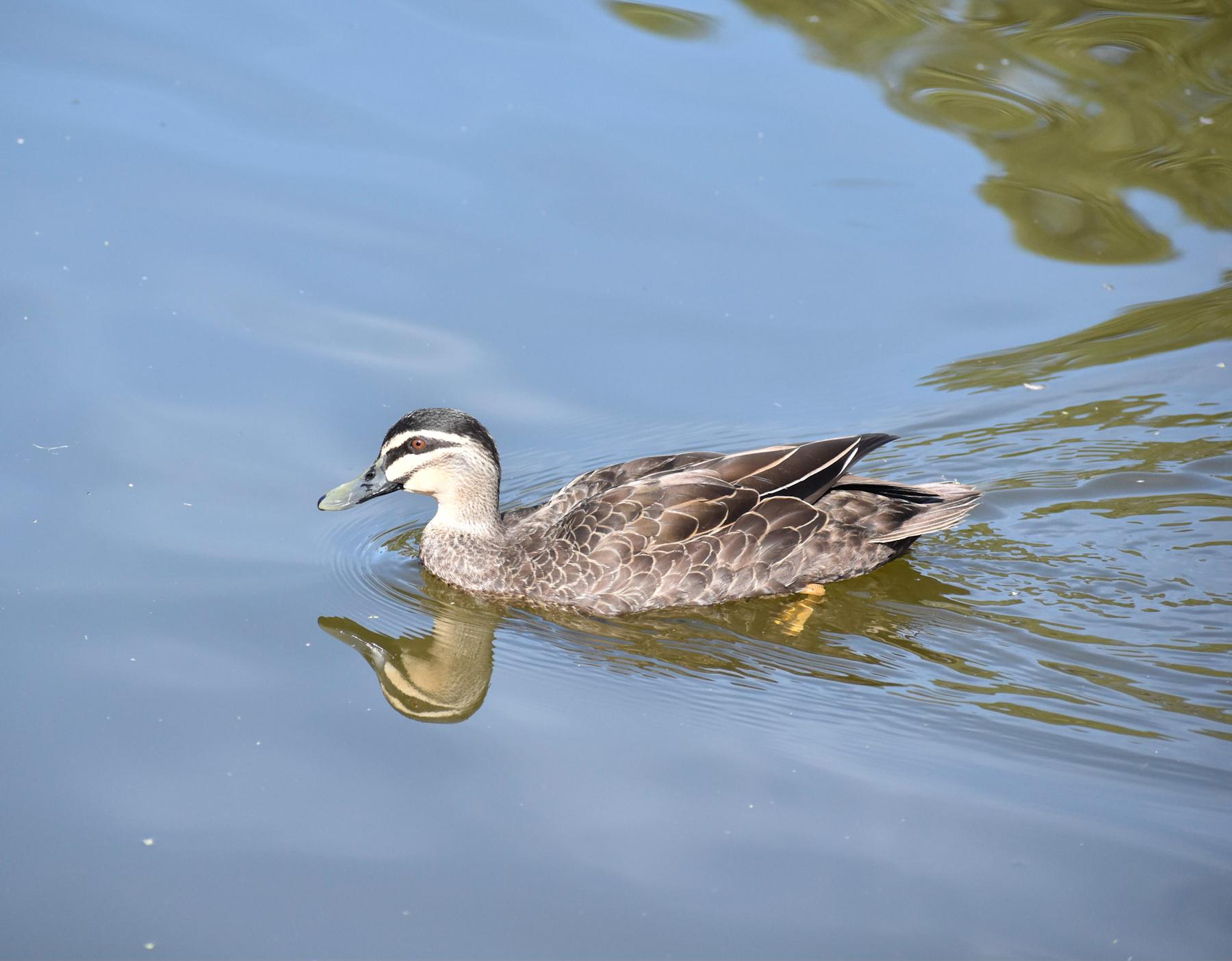 Pacific Black Duck (Image ID 40405)