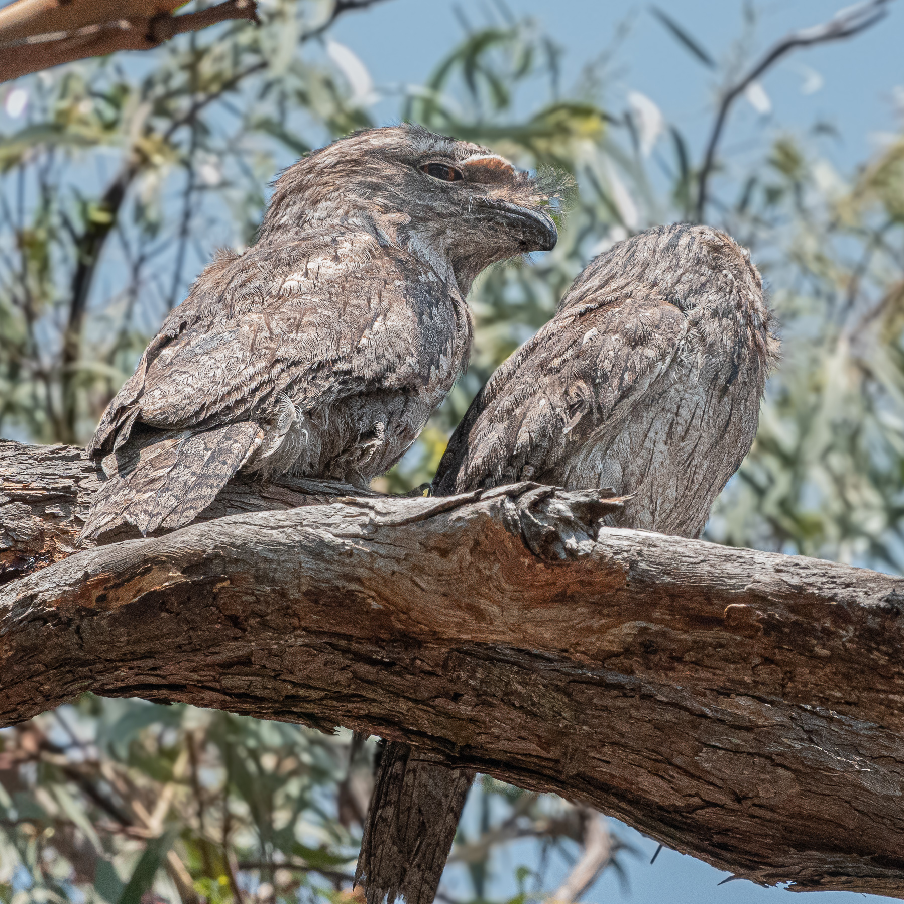 Tawny Frogmouth (Image ID 40361)