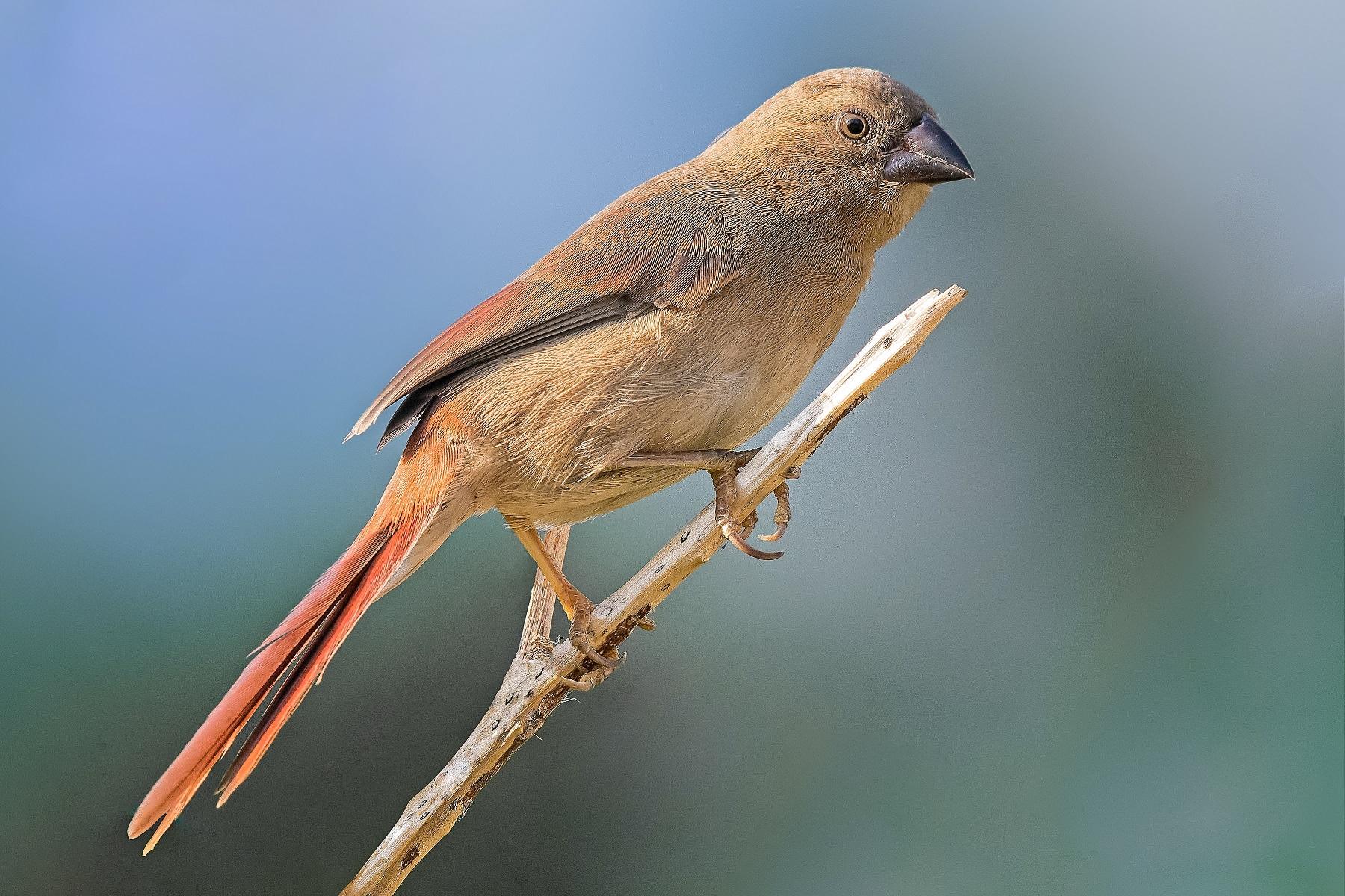 Black-bellied Crimson Finch (Image ID 40551)