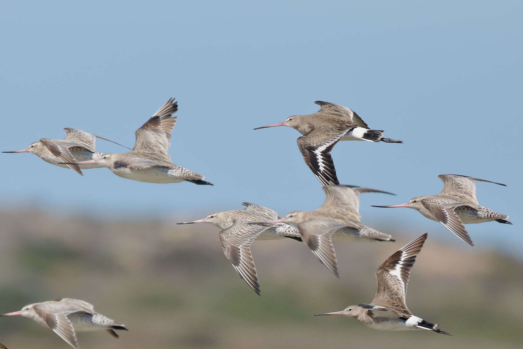 Bar-tailed Godwit, Black-tailed Godwit (Image ID 40309)