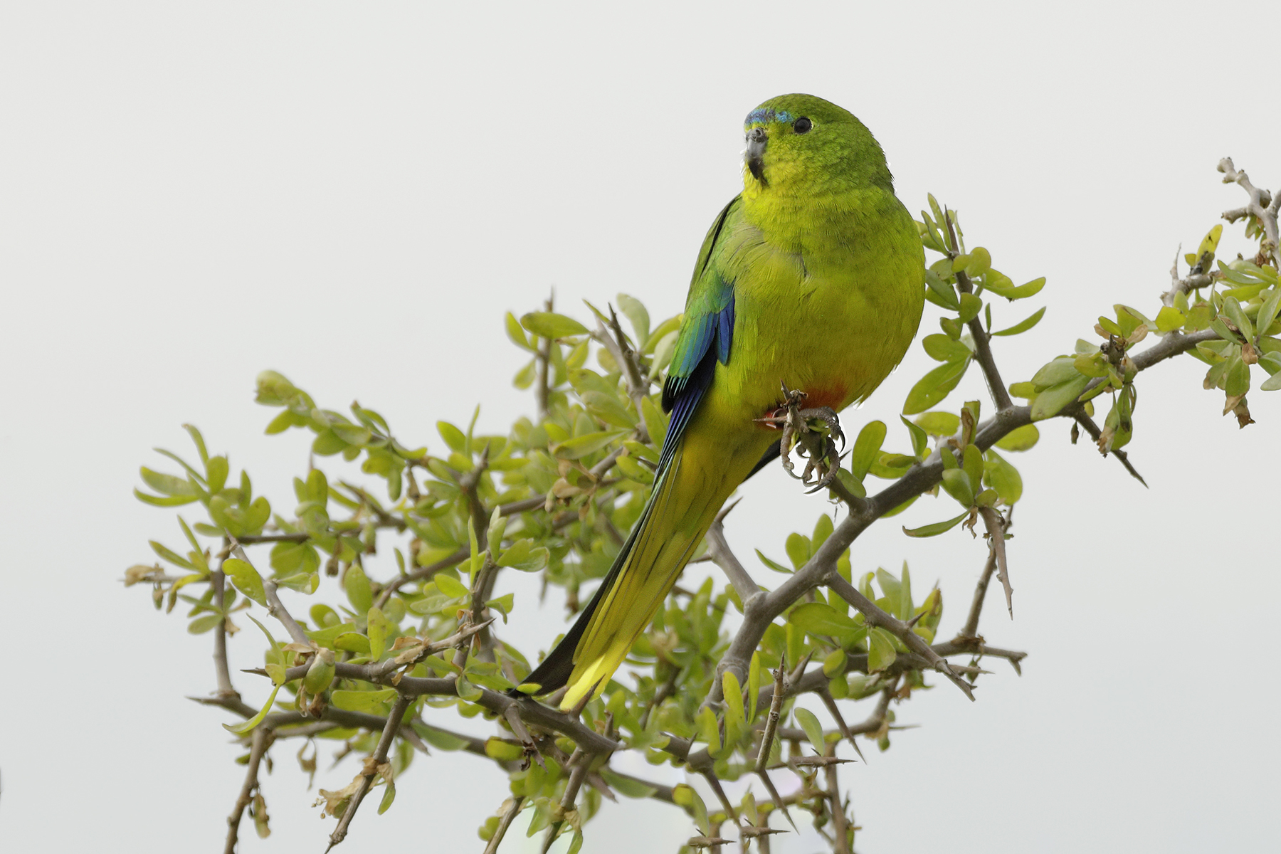 Orange-bellied Parrot (Image ID 40383)