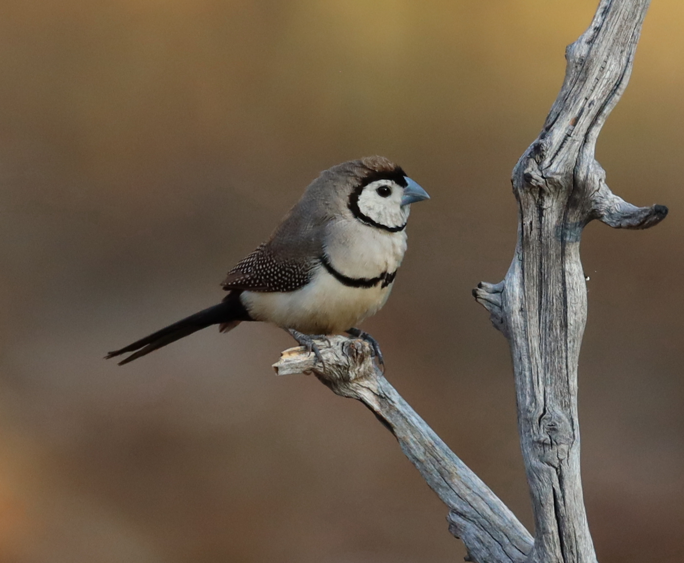 Double-barred Finch (Image ID 40328)