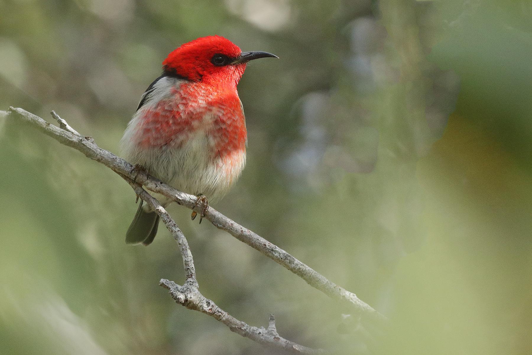 Scarlet Honeyeater (Image ID 40640)