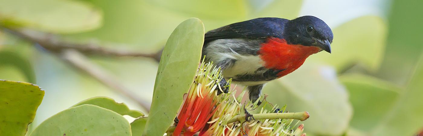 Mistletoebird (Image ID 40307)