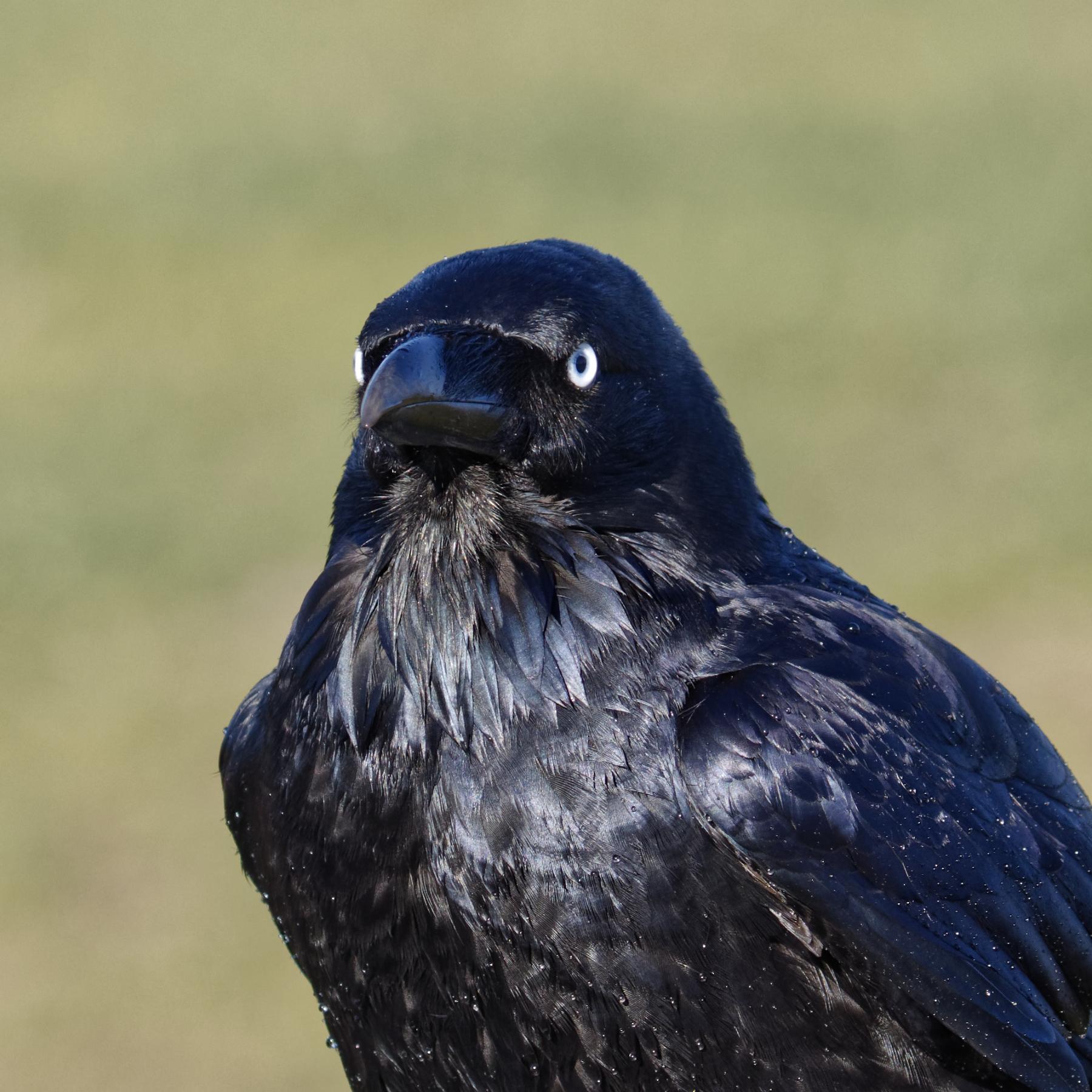 Australian Raven (Image ID 40556)