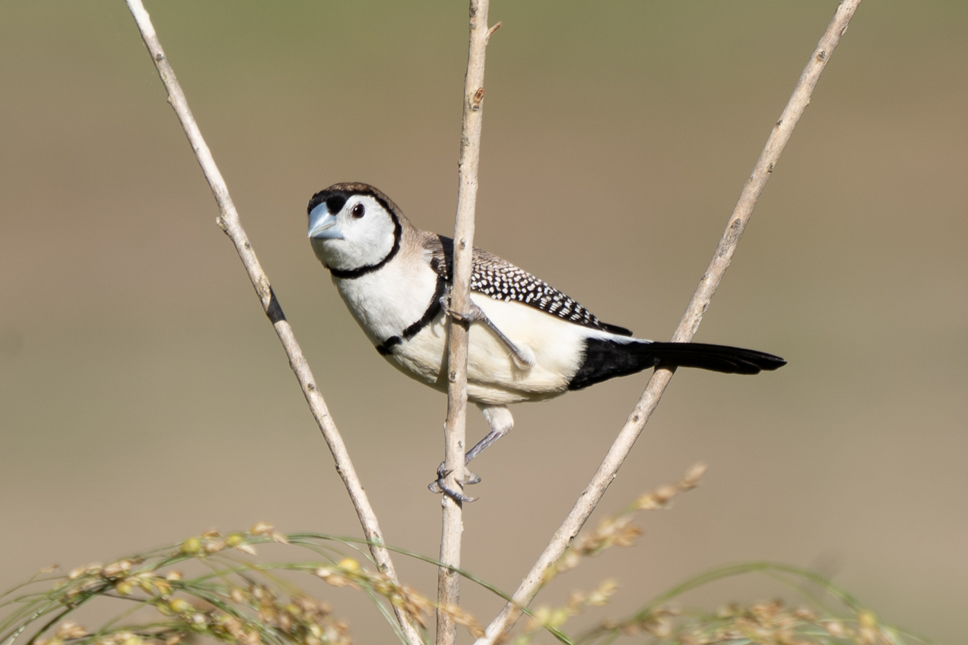 Double-barred Finch (Image ID 40326)