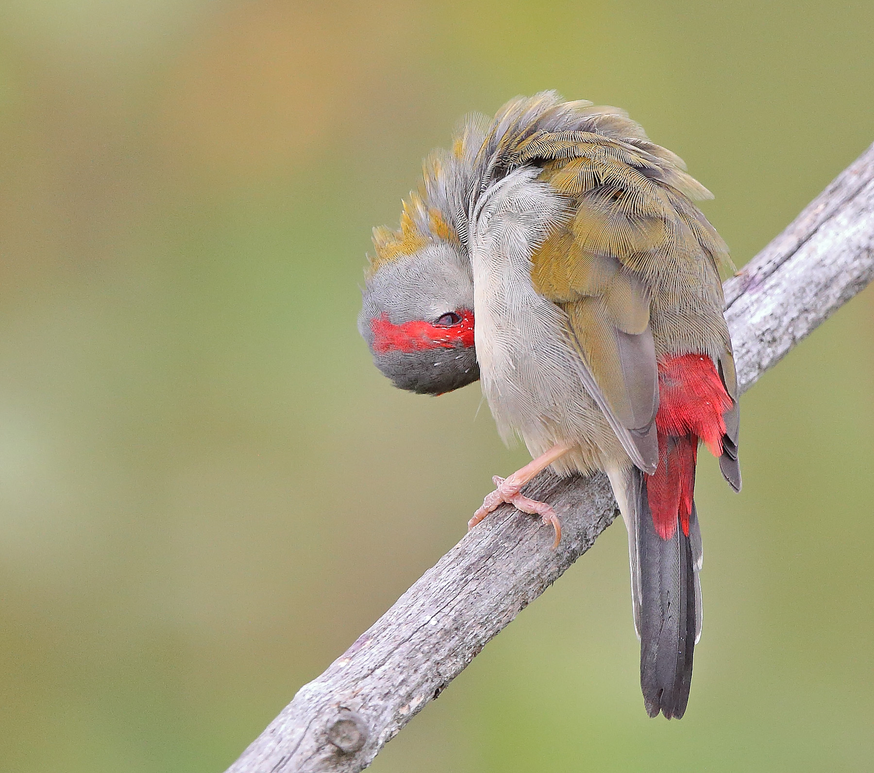 Red-browed Finch (Image ID 40522)