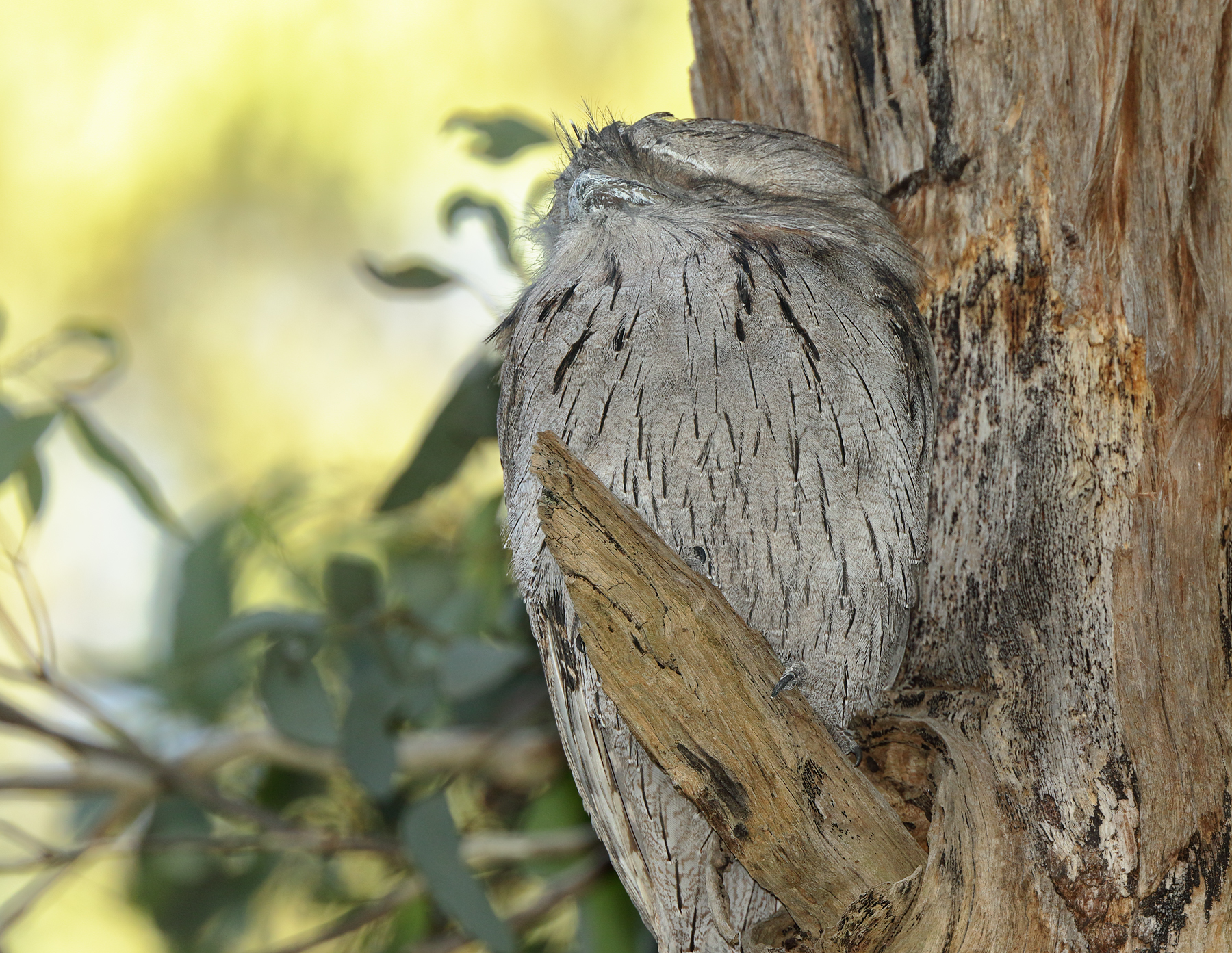 Tawny Frogmouth (Image ID 40312)