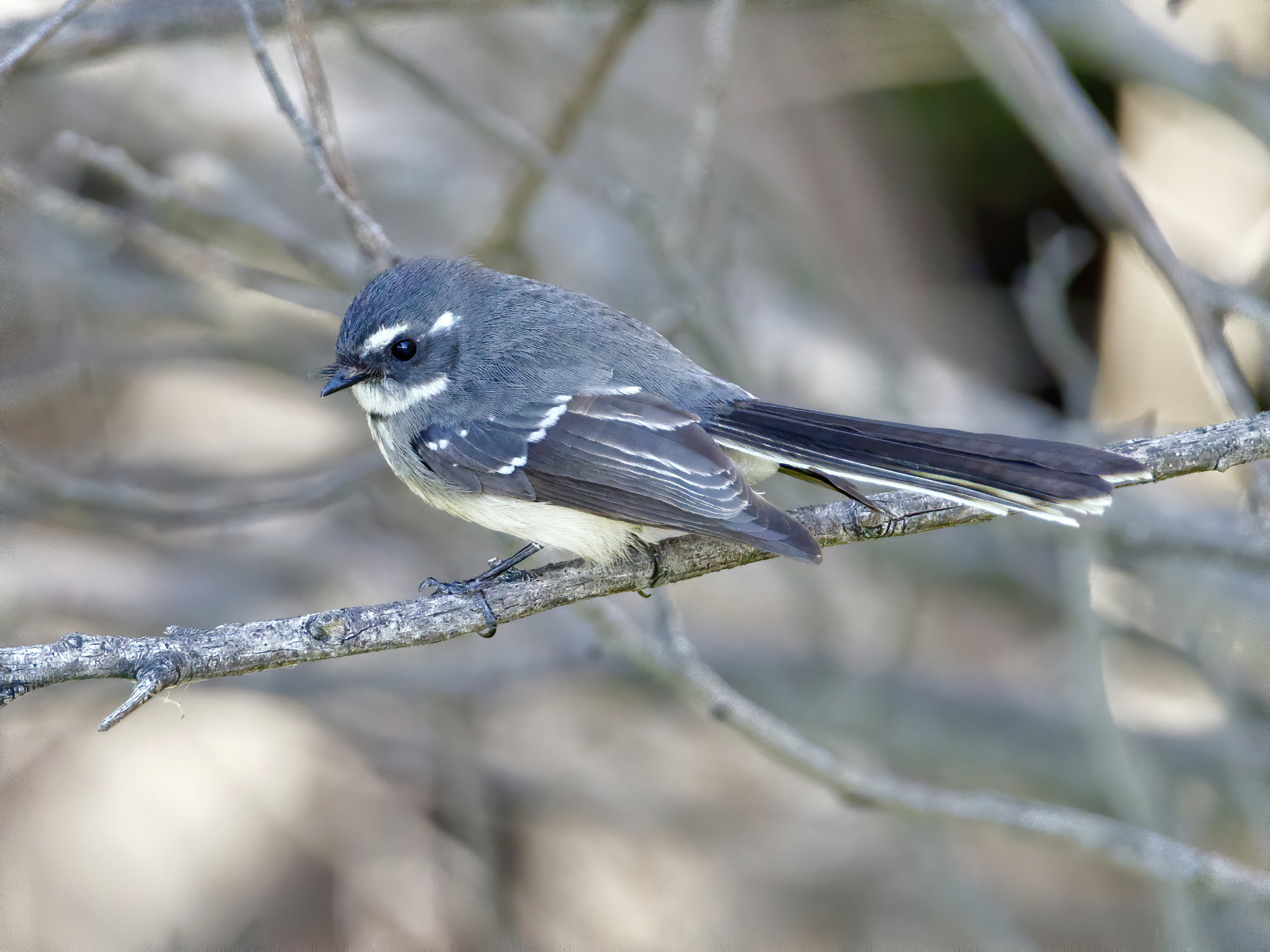 Grey Fantail (Image ID 40442)