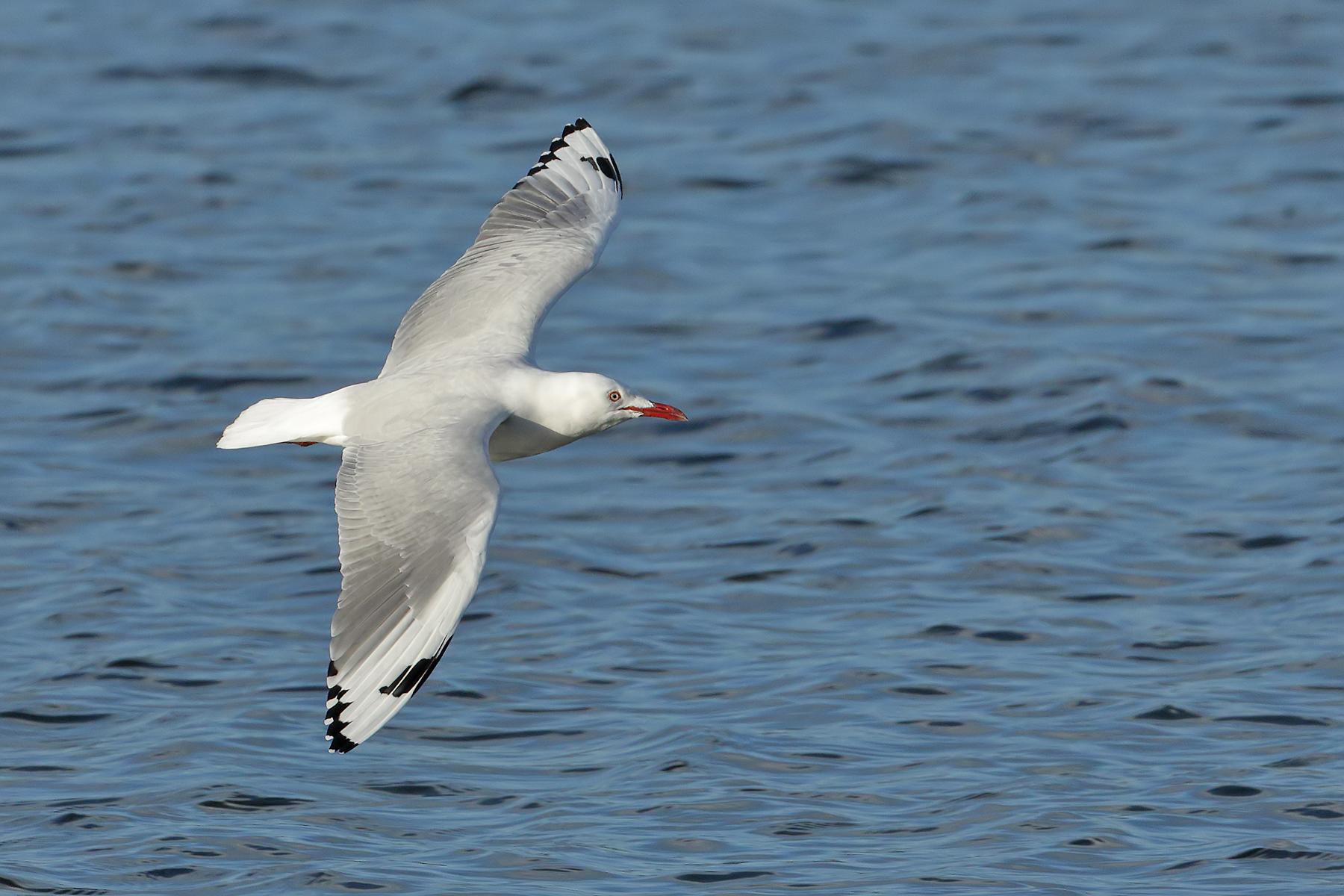 Silver Gull (Image ID 40925)