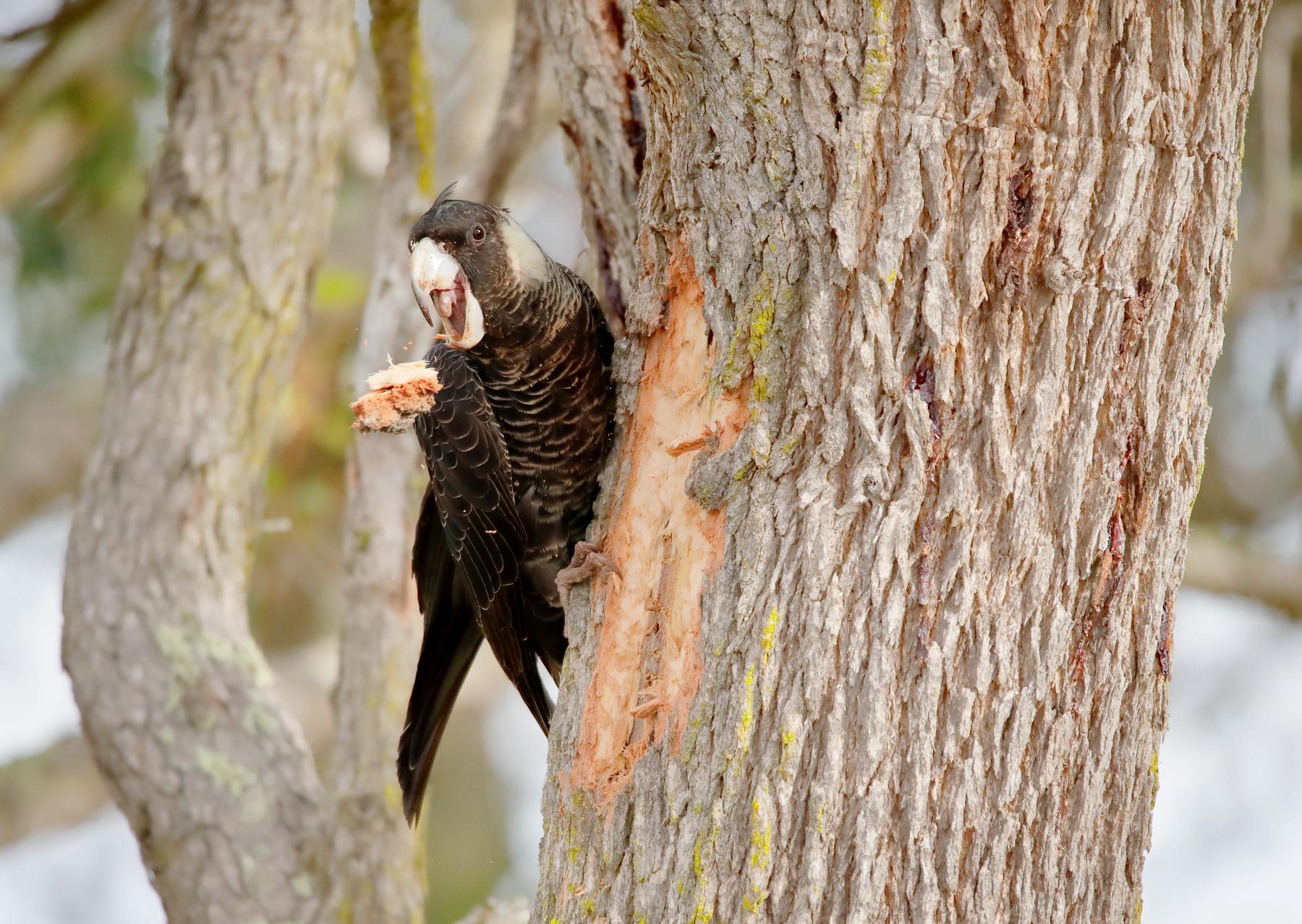 Carnaby's Black-Cockatoo (Image ID 40743)