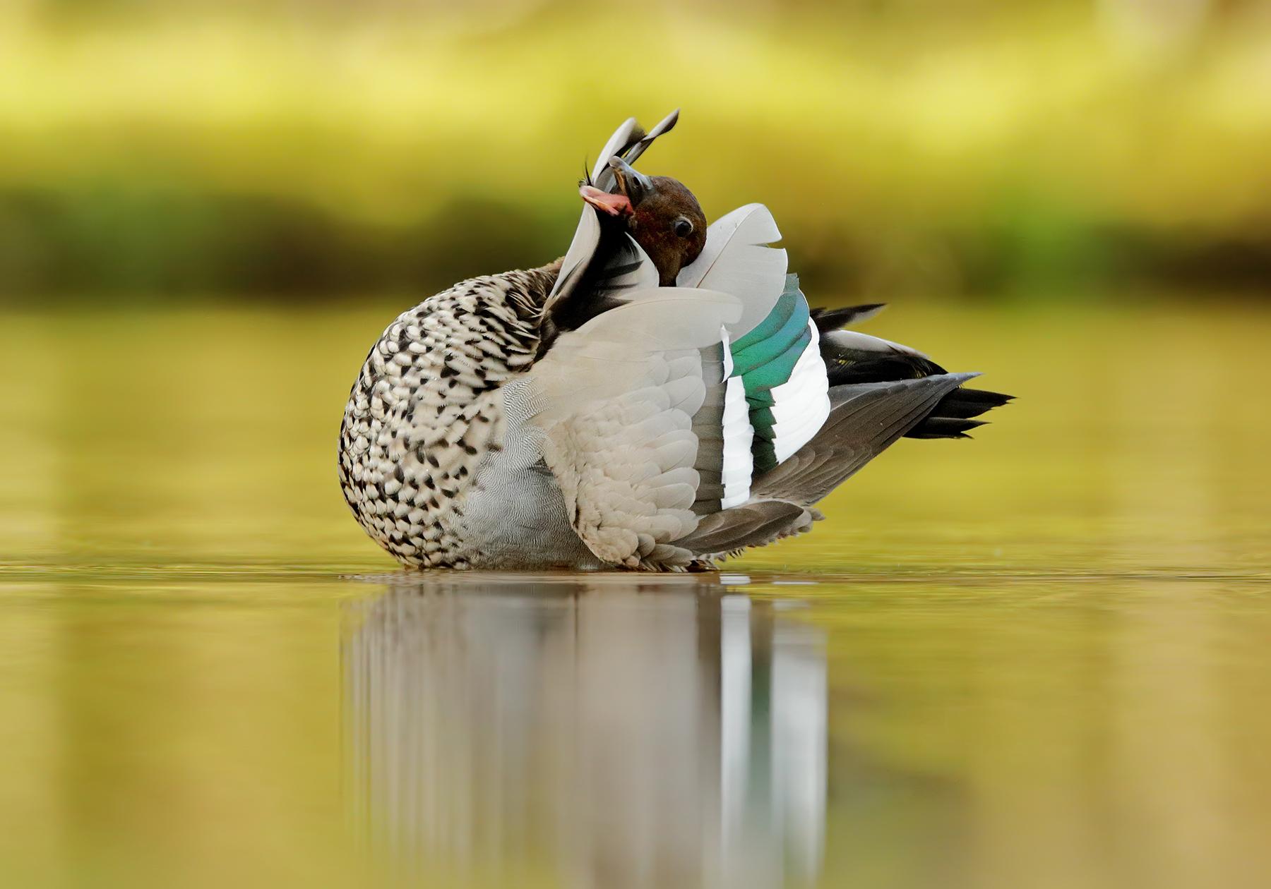 Australian Wood Duck (Image ID 40768)