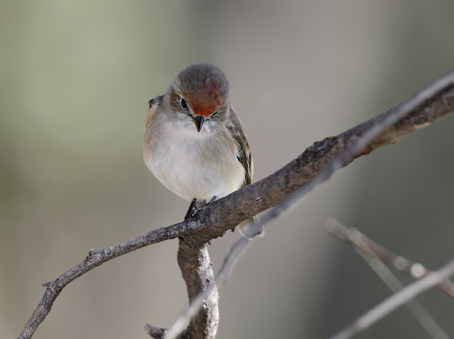 Red-capped Robin (Image ID 40715)