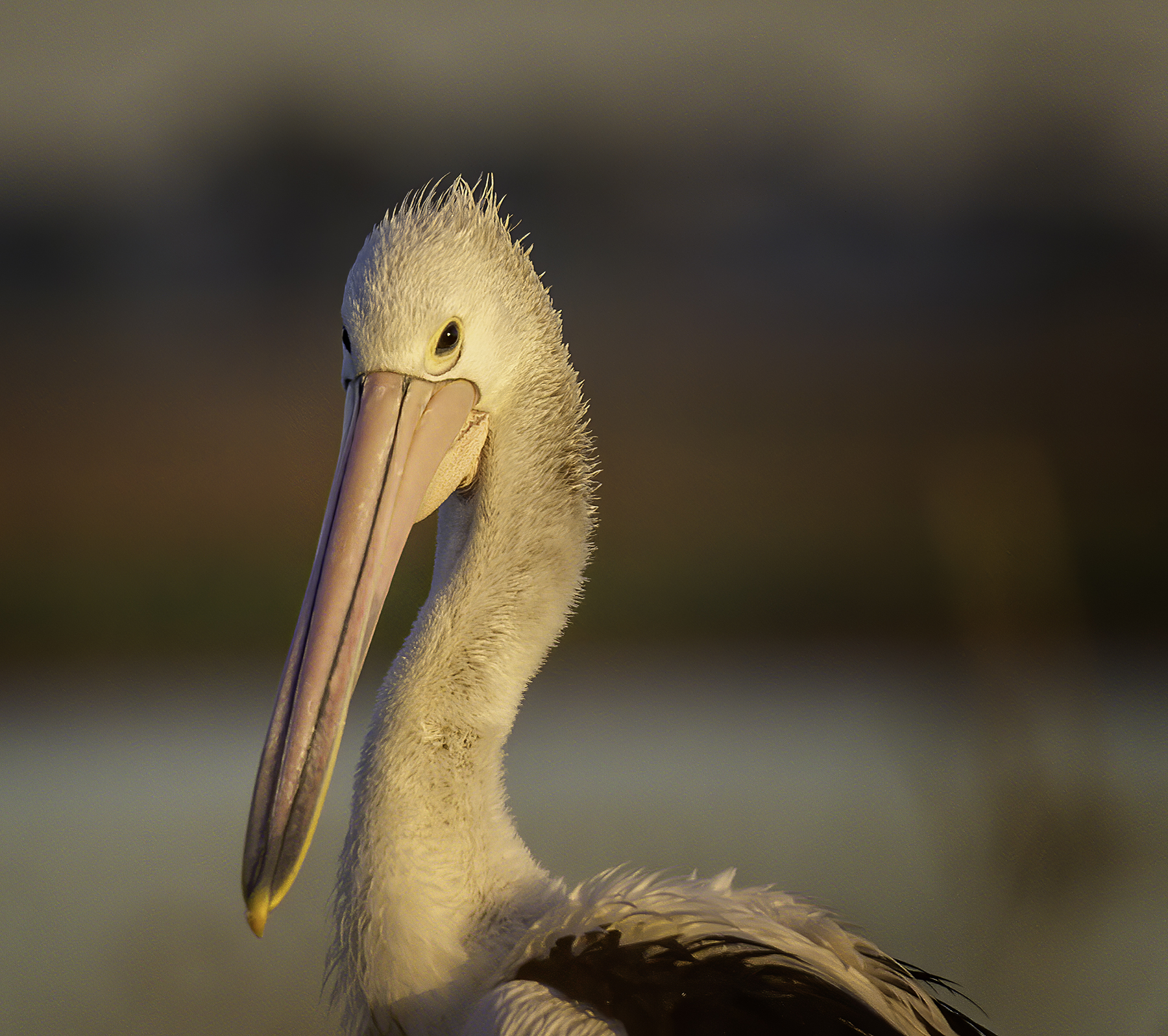 Australian Pelican (Image ID 40861)