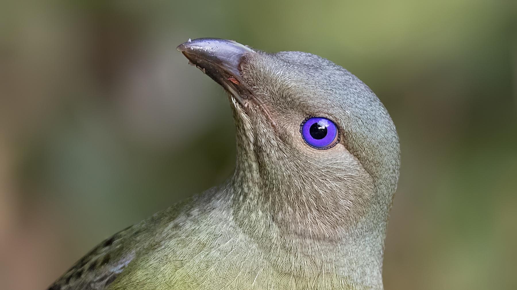Satin Bowerbird (Image ID 41001)