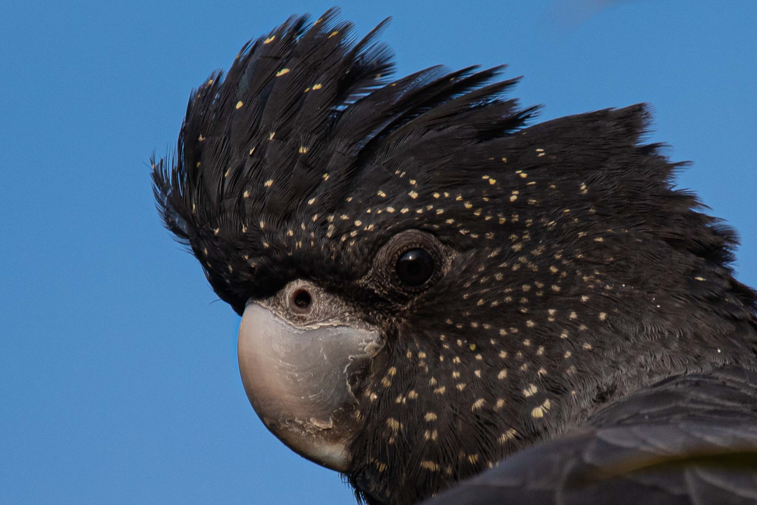 Red-tailed Black-Cockatoo (Image ID 40872)