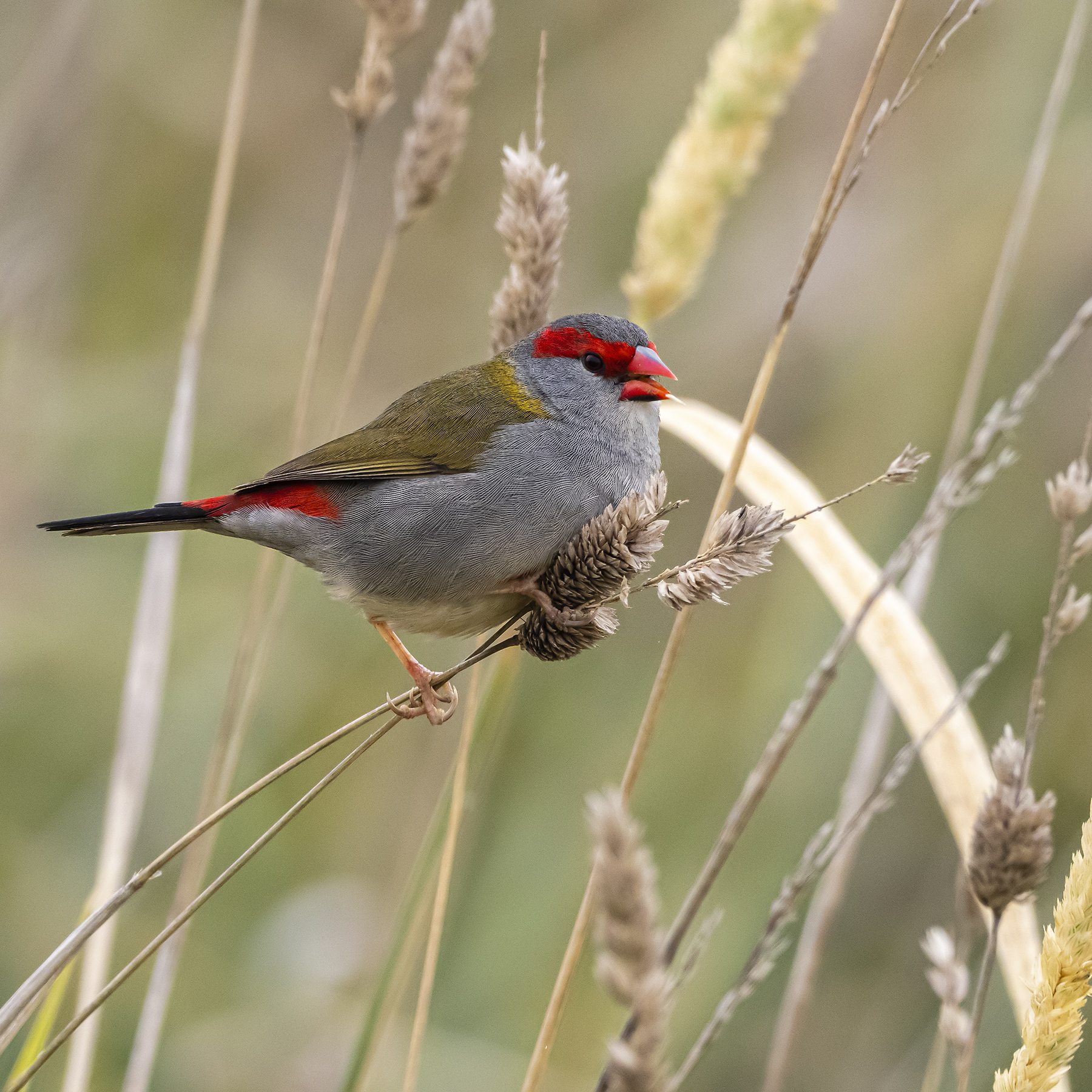 Red-browed Finch (Image ID 40816)