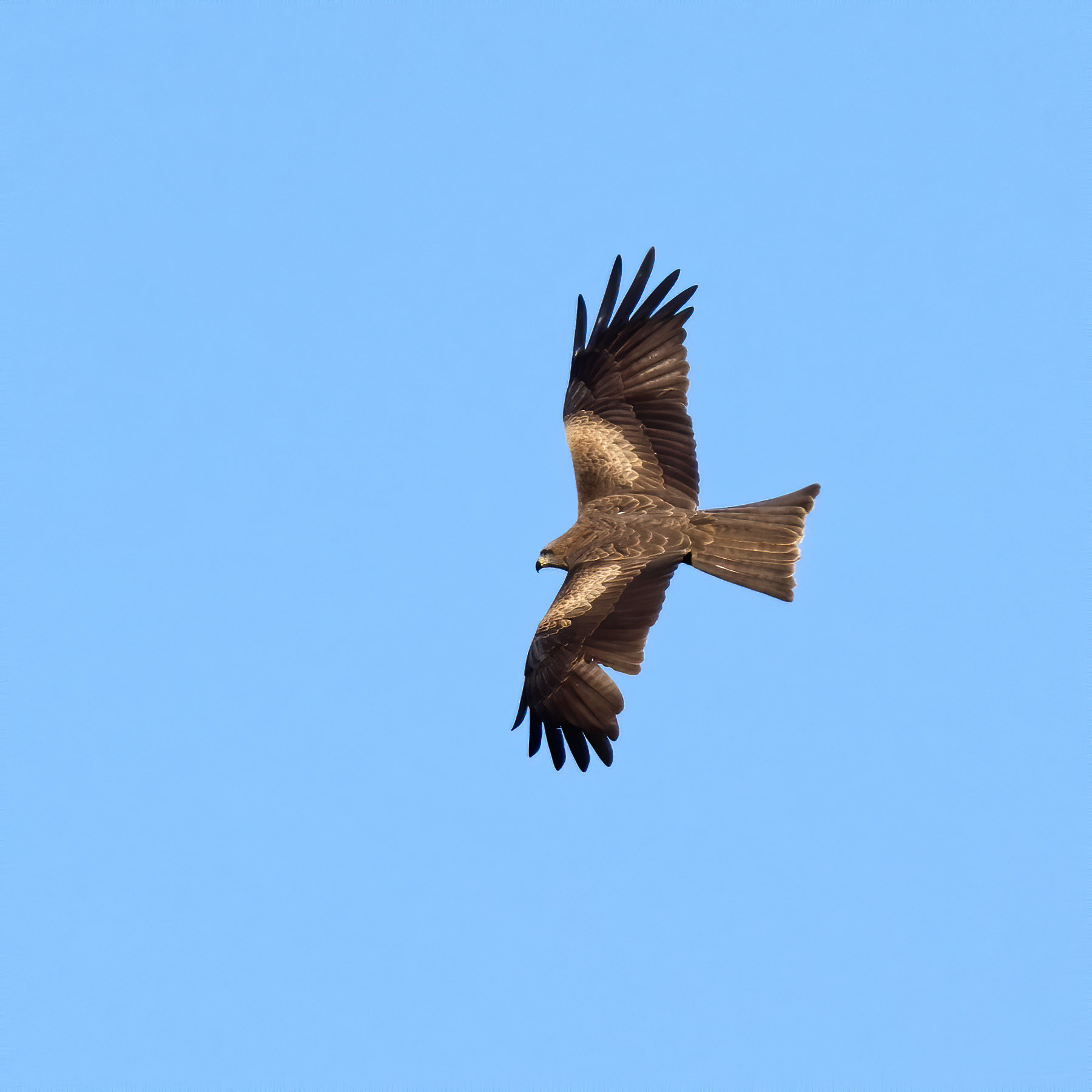 Black Kite (Image ID 40732)