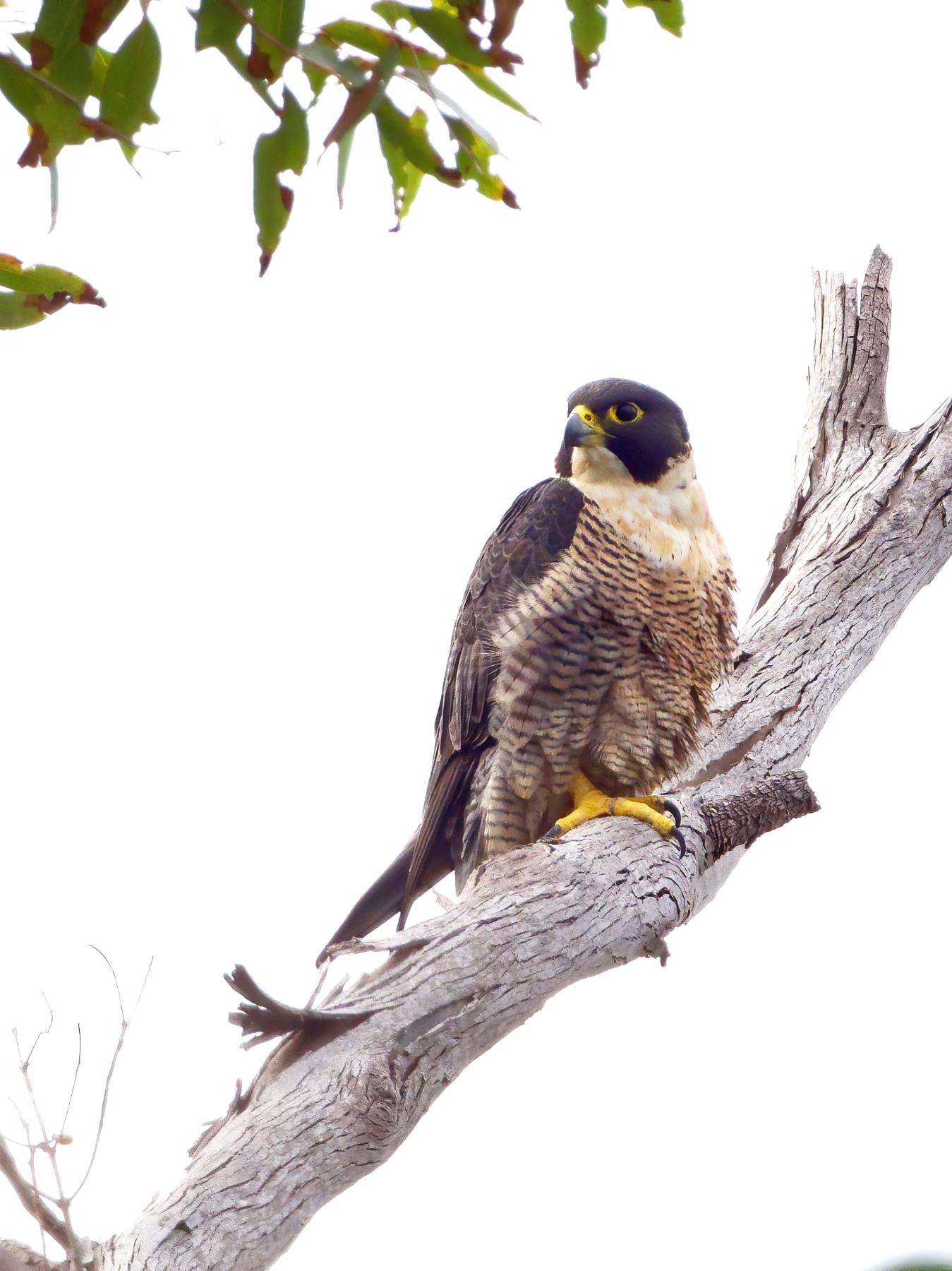 Peregrine Falcon (Image ID 40733)