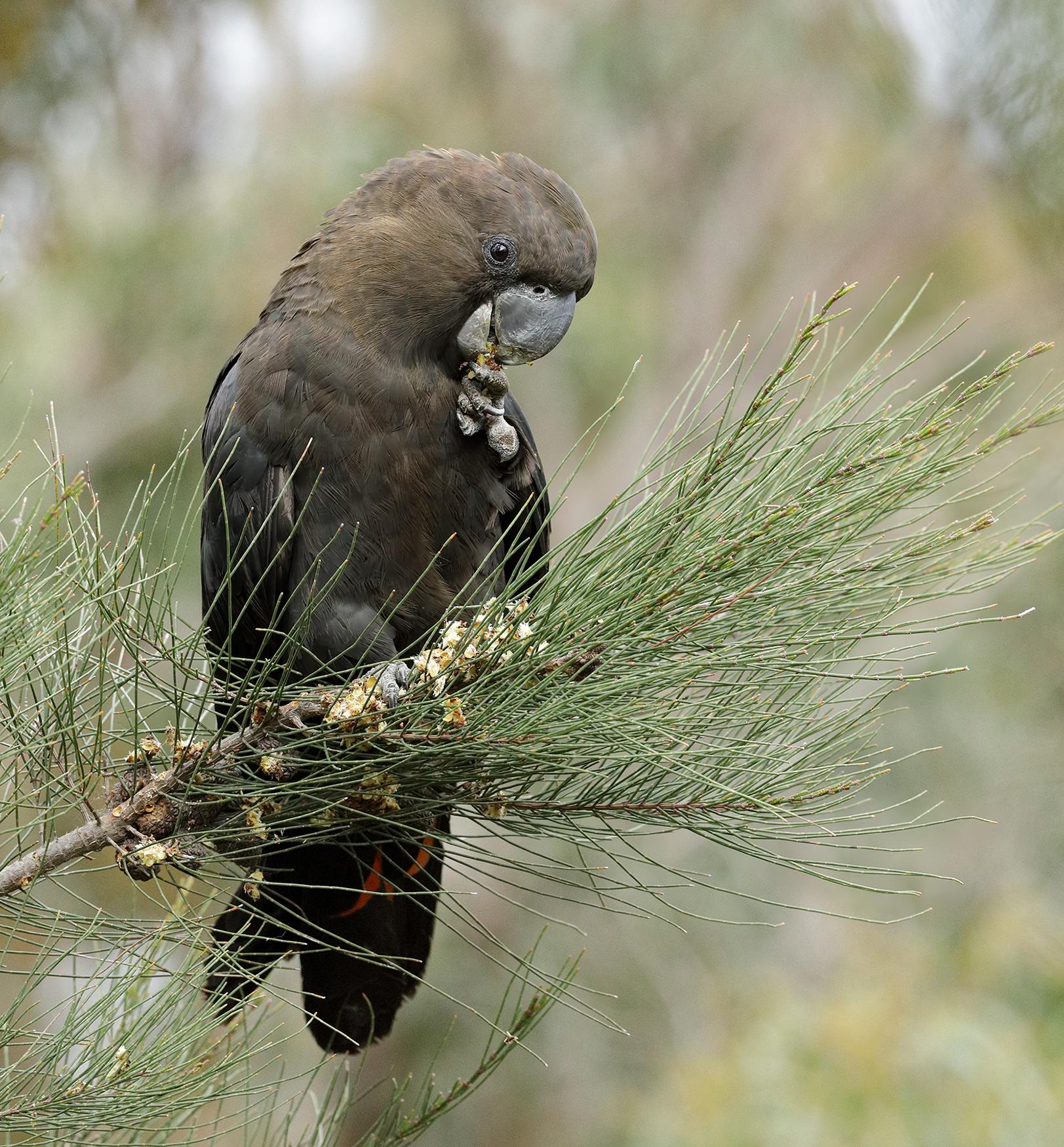 Glossy Black-Cockatoo (Image ID 41028)