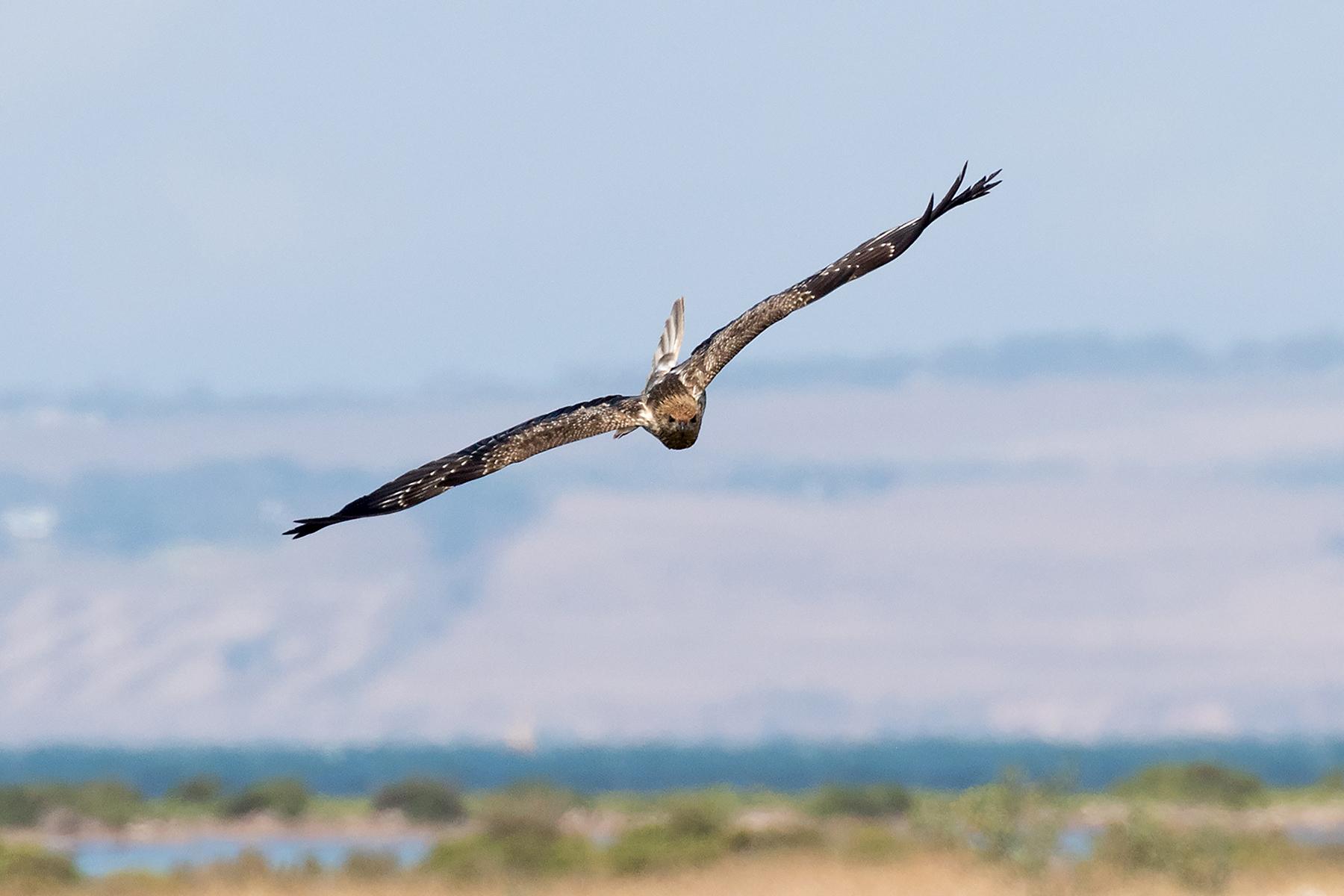 Whistling Kite (Image ID 41057)