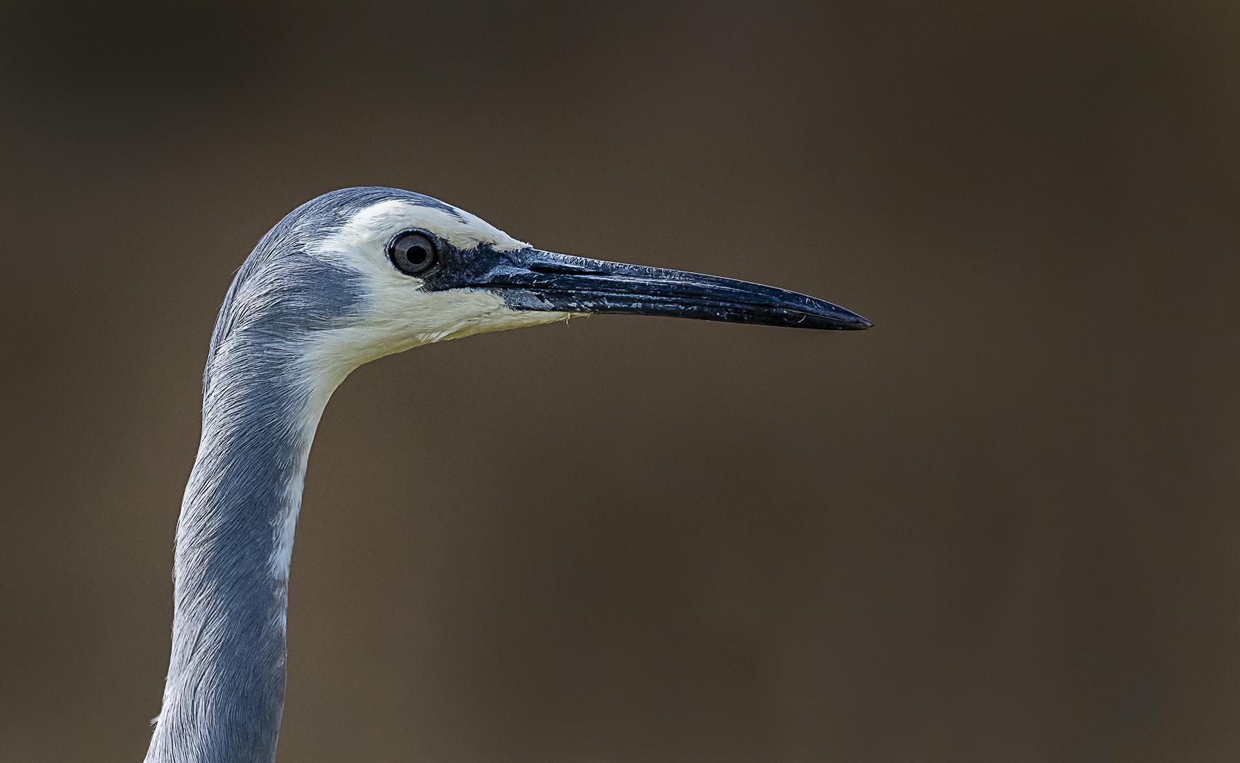White-faced Heron (Image ID 40779)