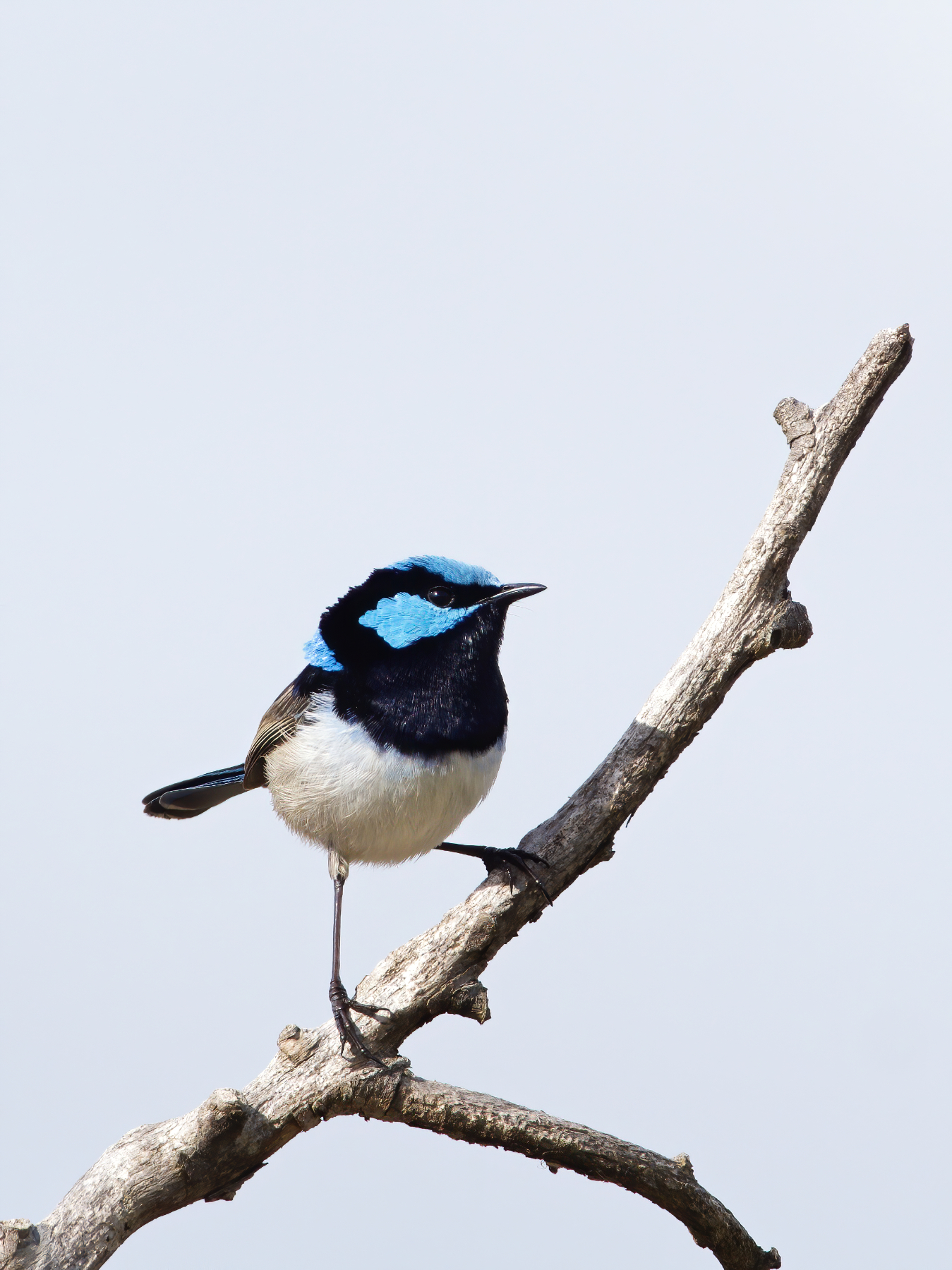 Superb Fairy-wren (Image ID 40857)