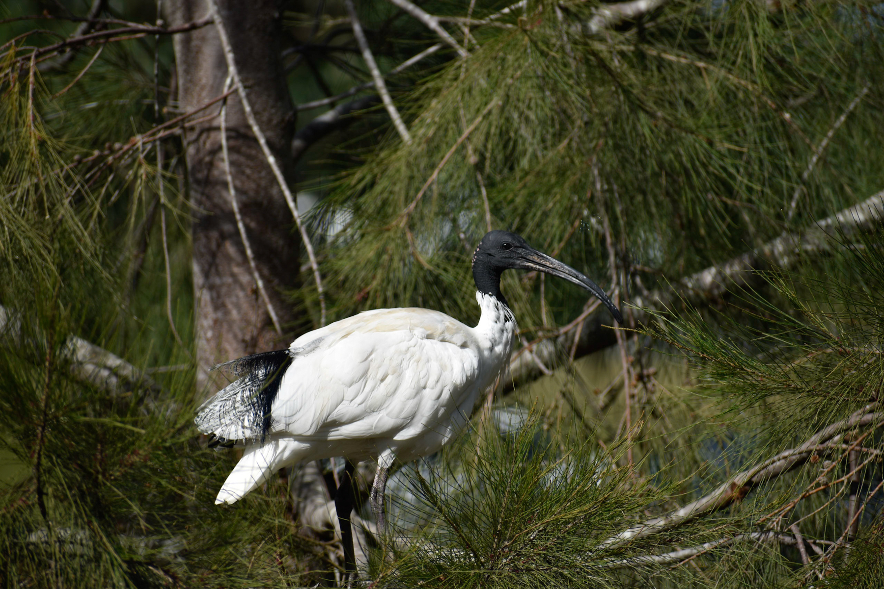 Australian White Ibis (Image ID 40774)