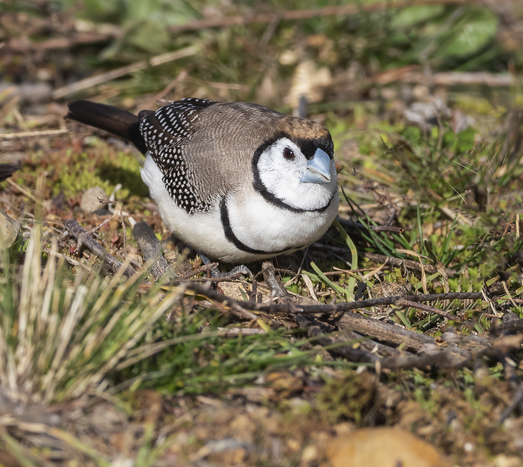 Double-barred Finch (Image ID 41016)