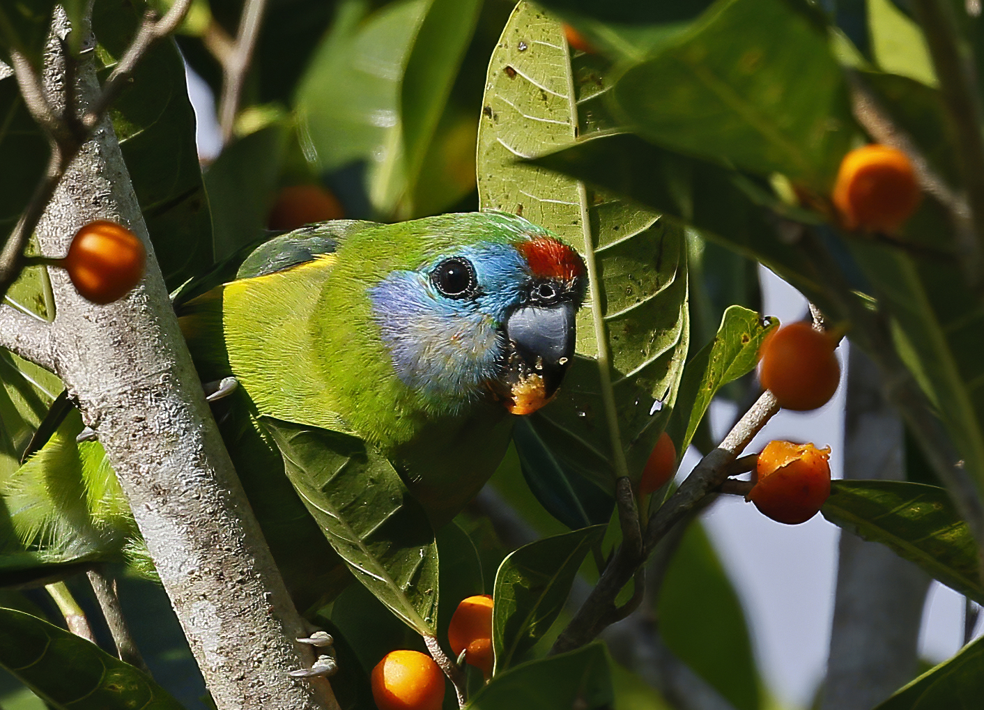 Double-eyed Fig-Parrot (Image ID 40822)