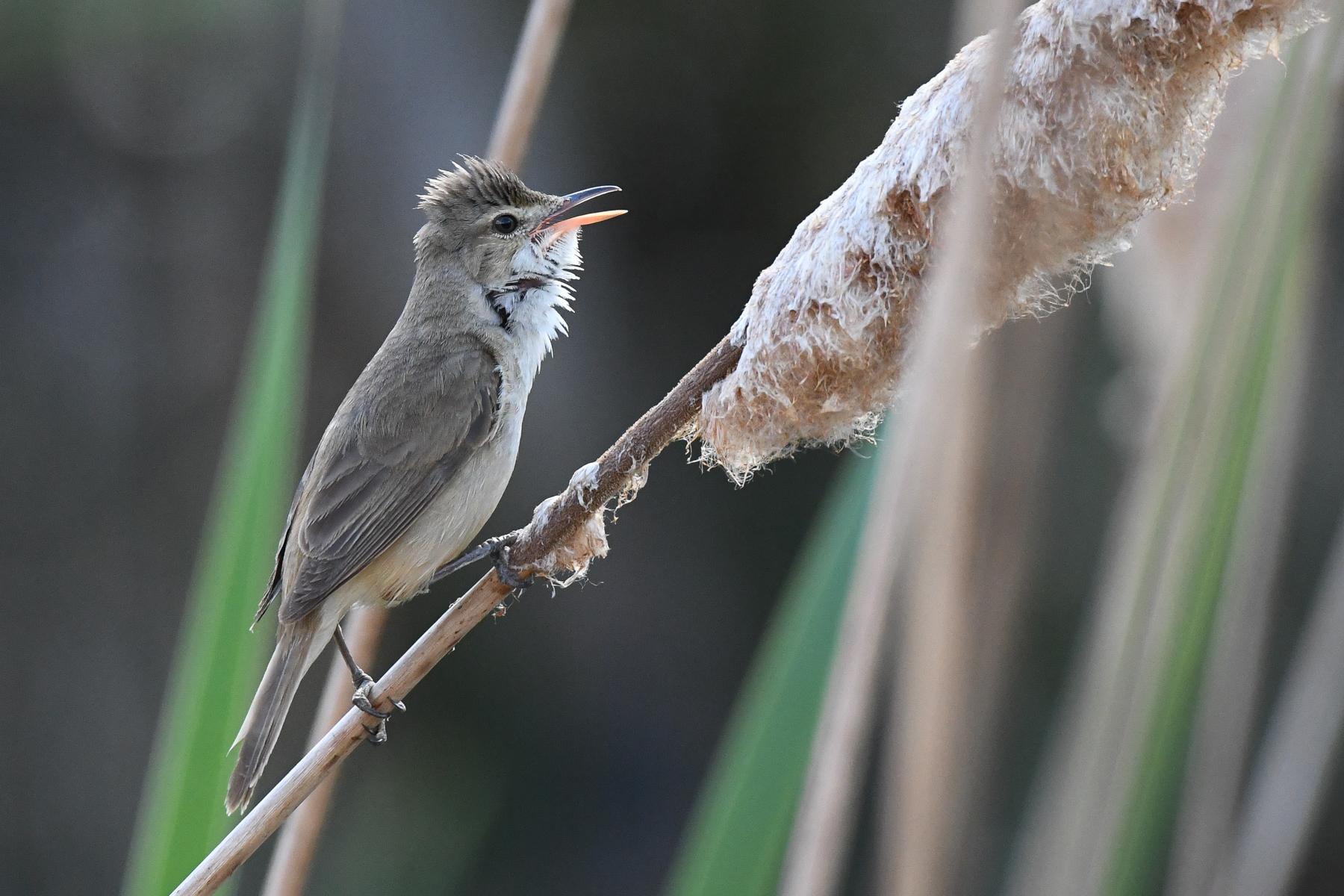 Australian Reed-Warbler (Image ID 40999)