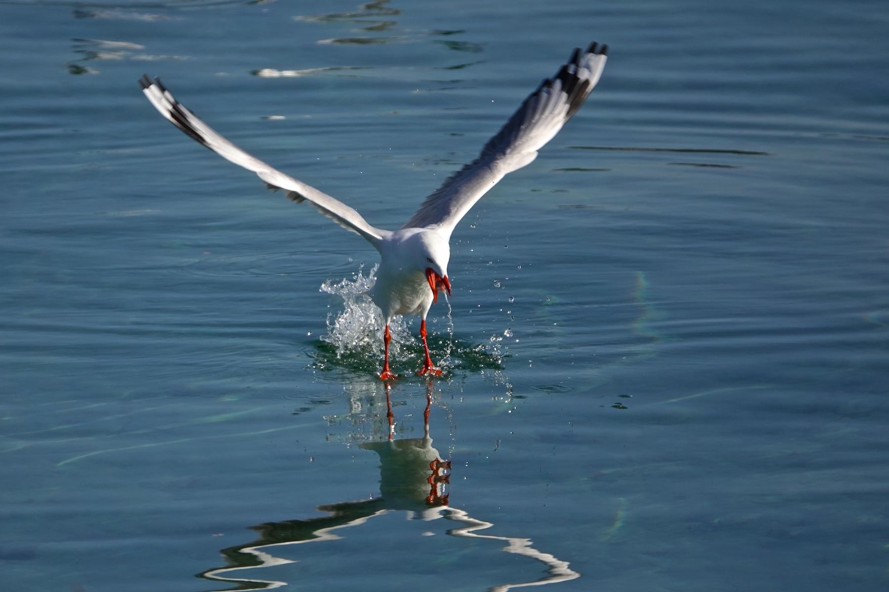 Silver Gull (Image ID 41050)
