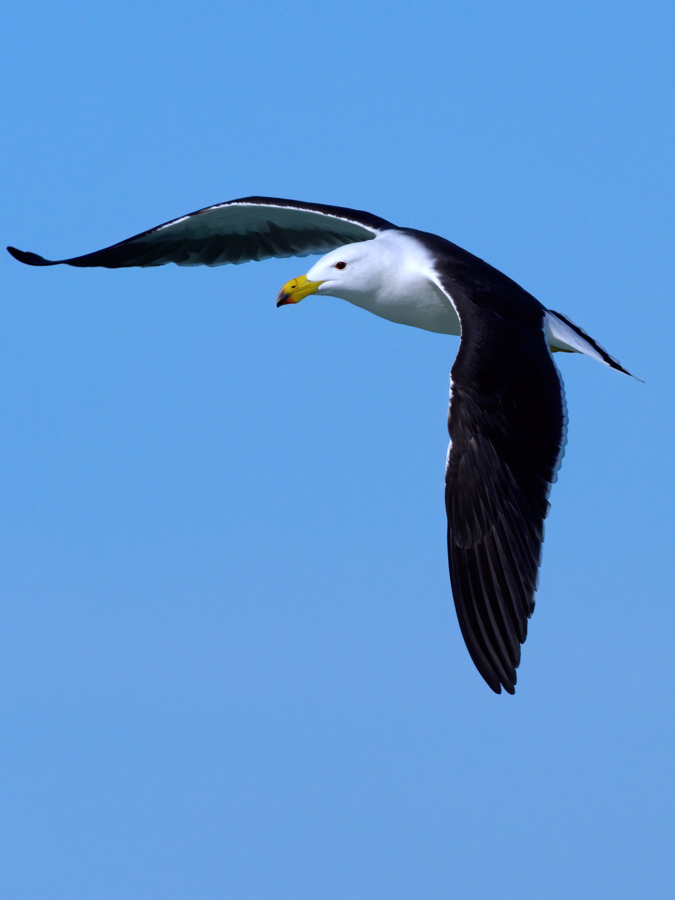 Pacific Gull (Image ID 40998)