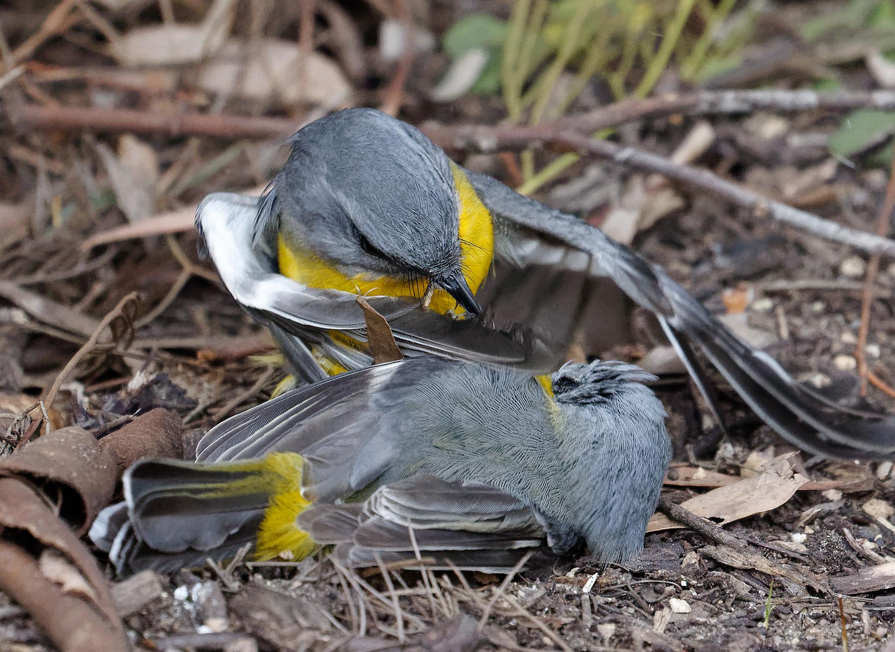 Eastern Yellow Robin (Image ID 41007)