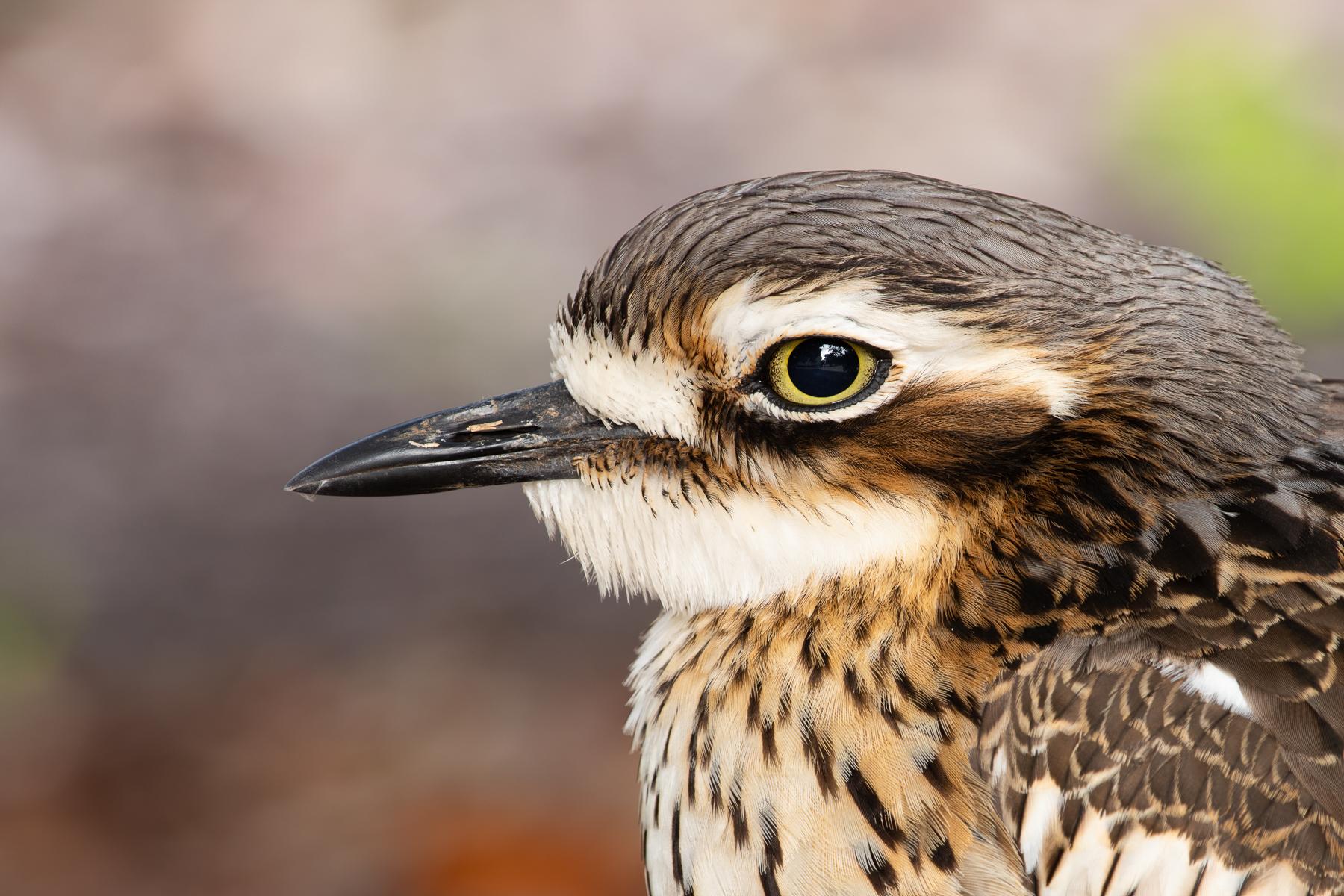 Bush Stone-curlew (Image ID 40895)